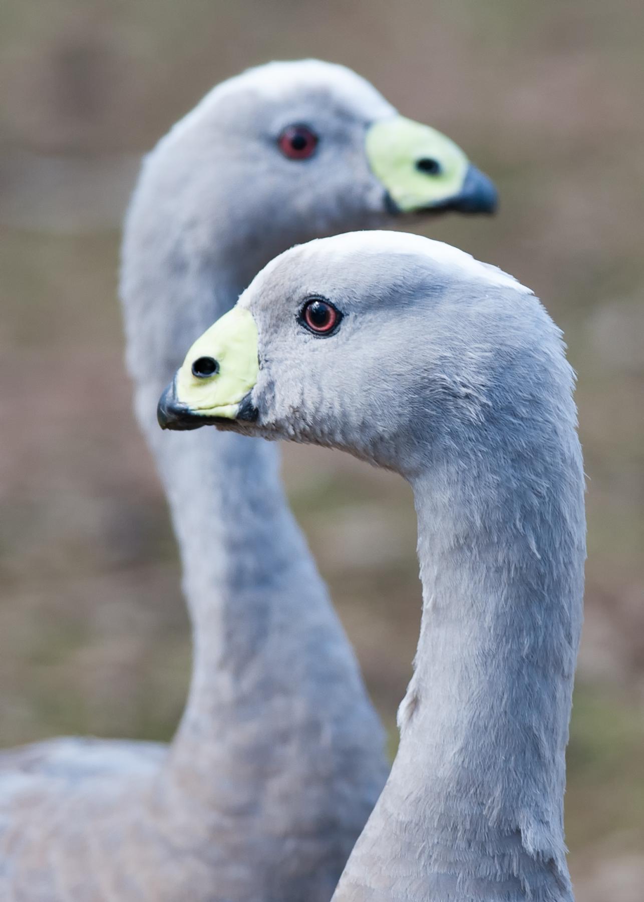 Cape Barren Goose (Image ID 41388)