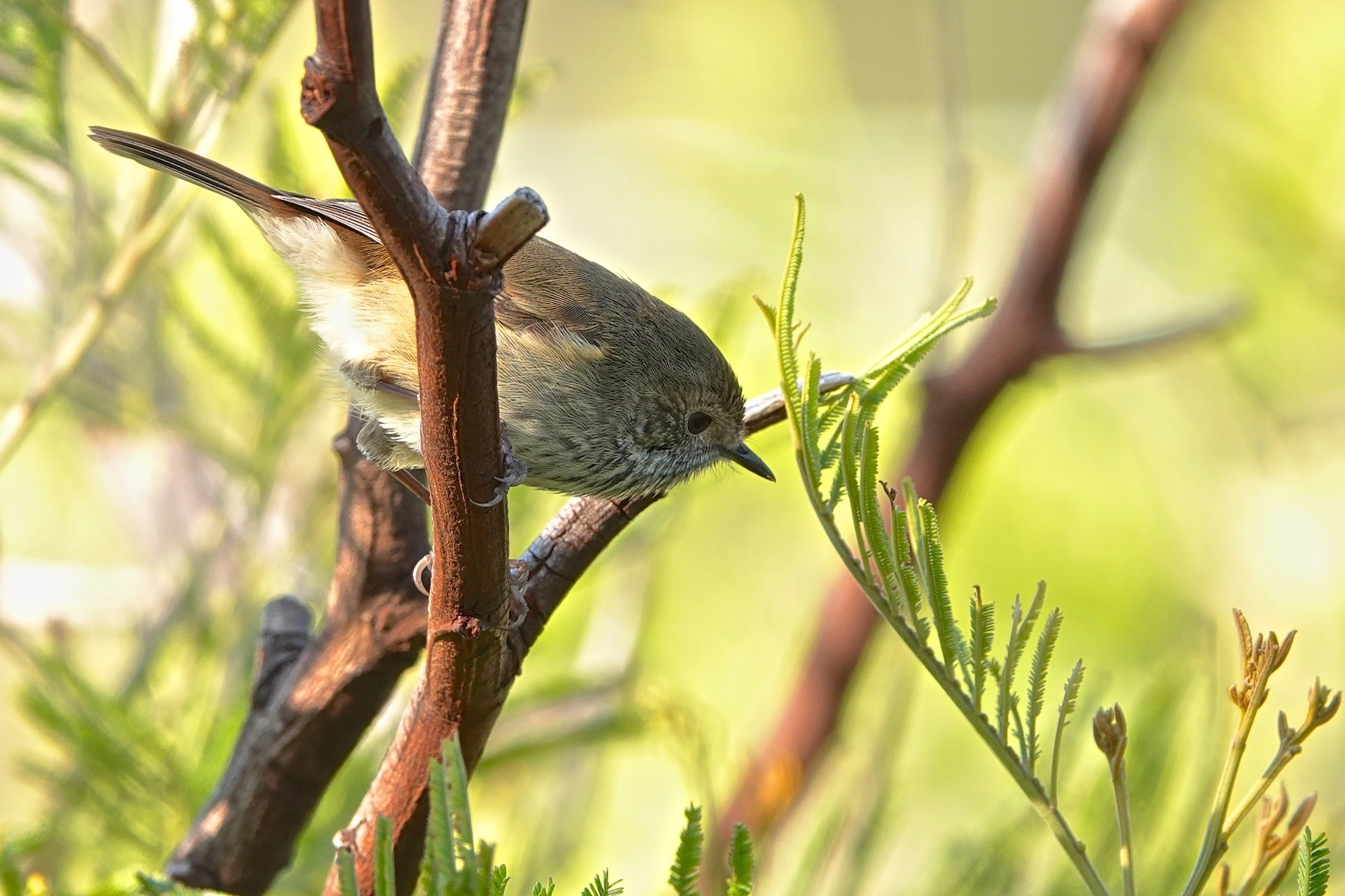 Brown Thornbill (Image ID 41316)