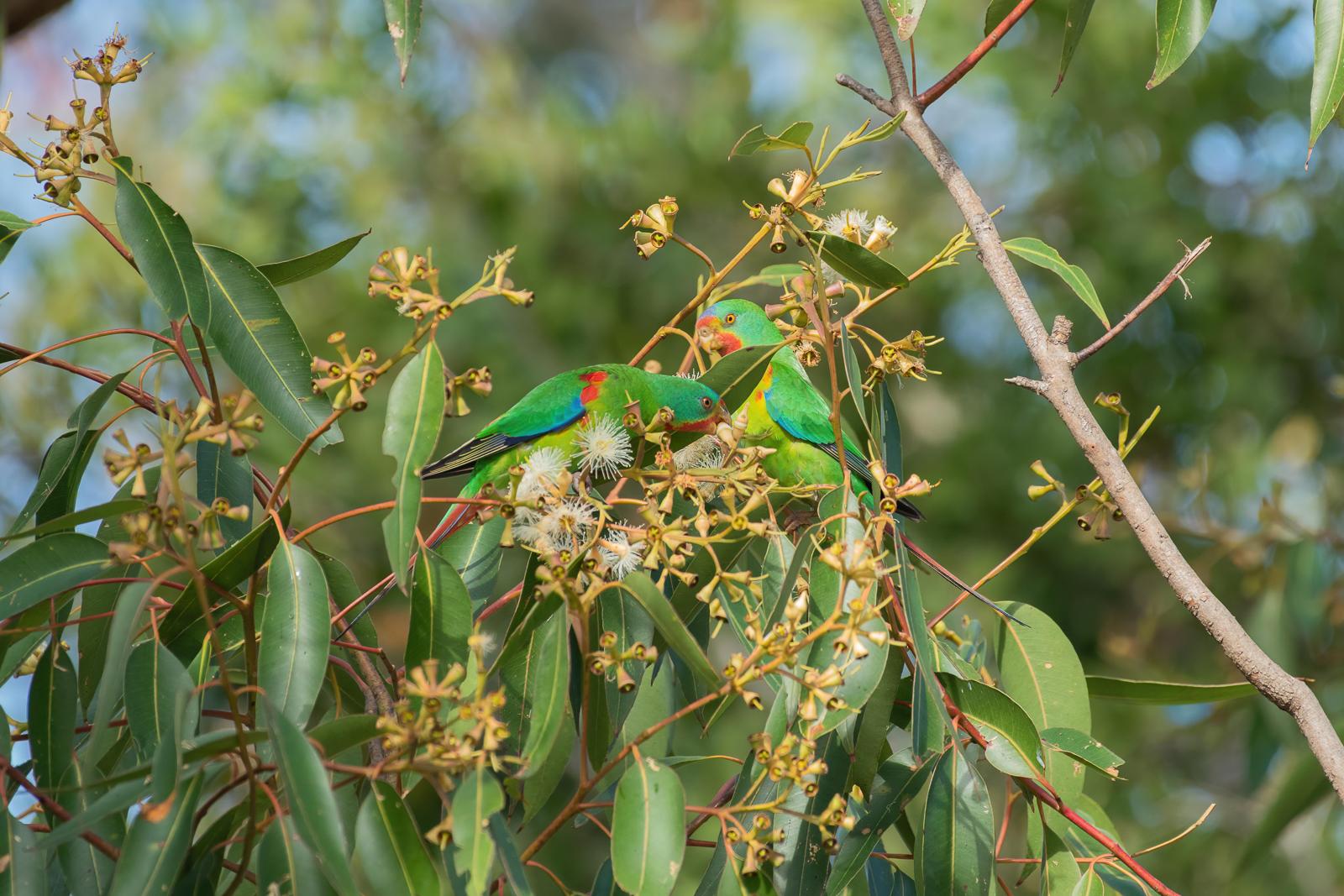 Swift Parrot (Image ID 41296)