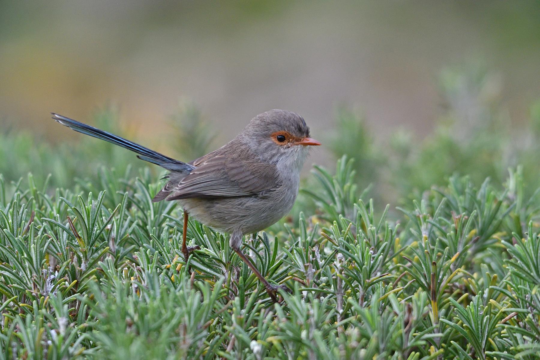 Splendid Fairy-wren (Image ID 41089)