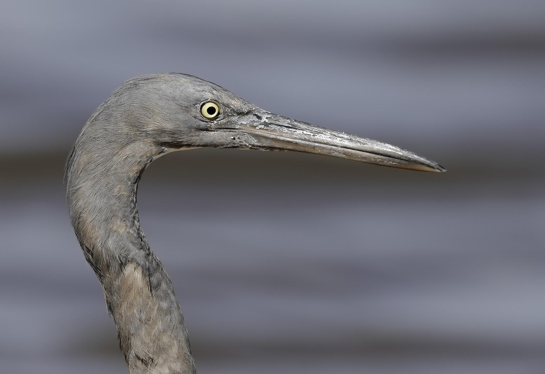 Eastern Reef Egret (Image ID 41201)