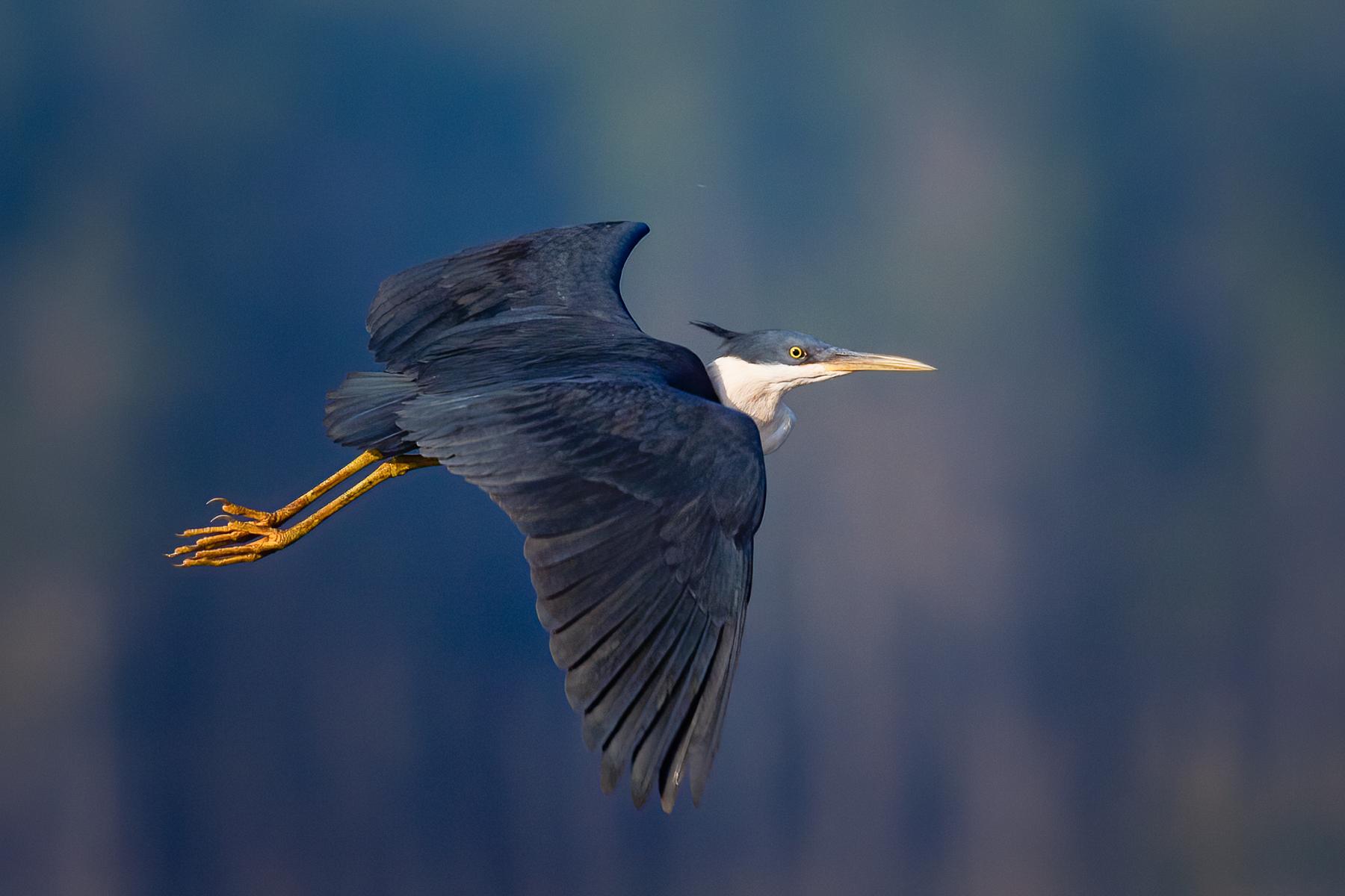 Pied Heron (Image ID 41857)