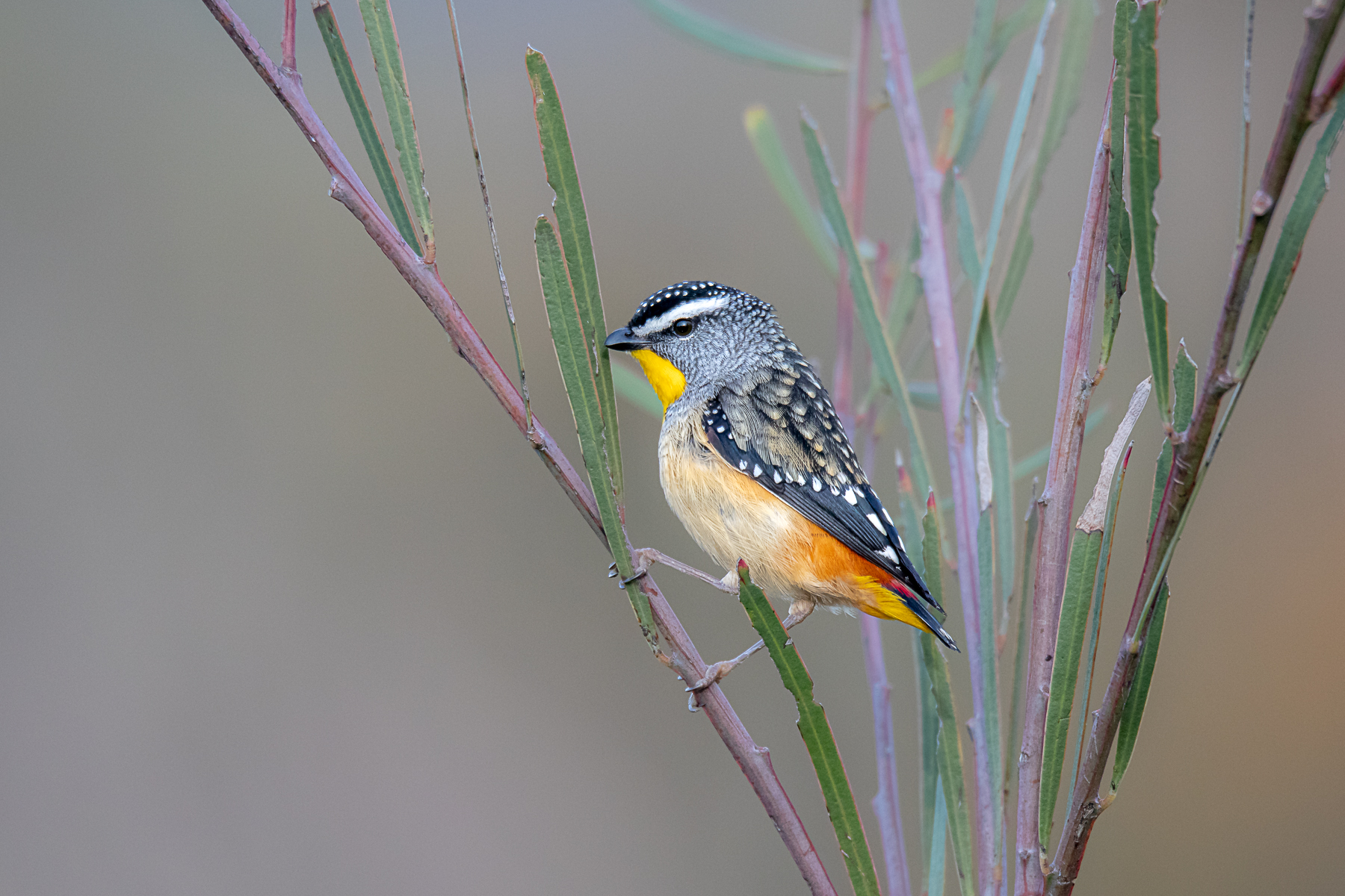 Spotted Pardalote (Image ID 42029)