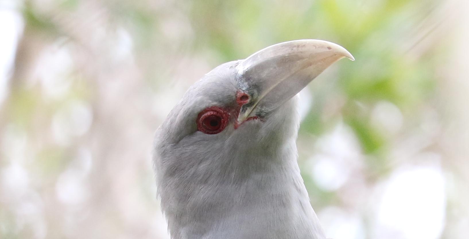 Channel-billed Cuckoo (Image ID 41597)