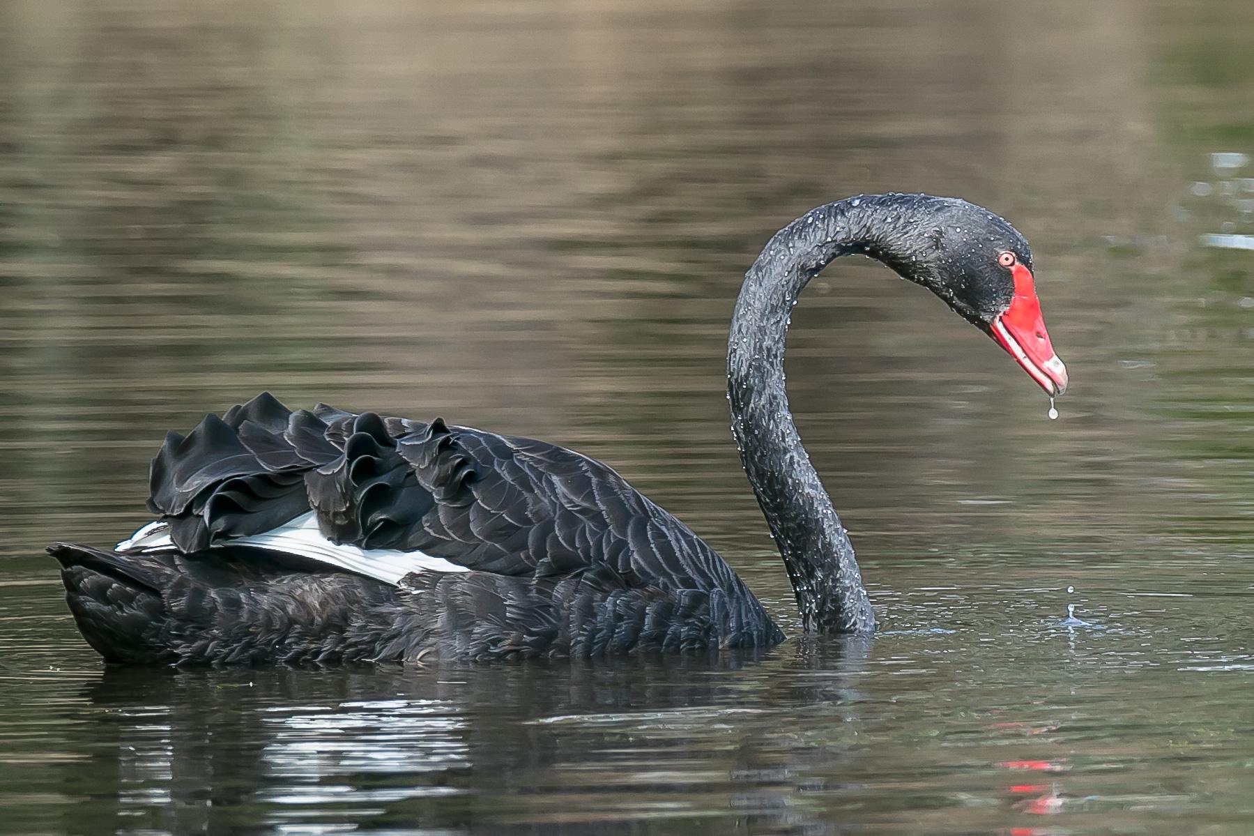 Black Swan (Image ID 42023)