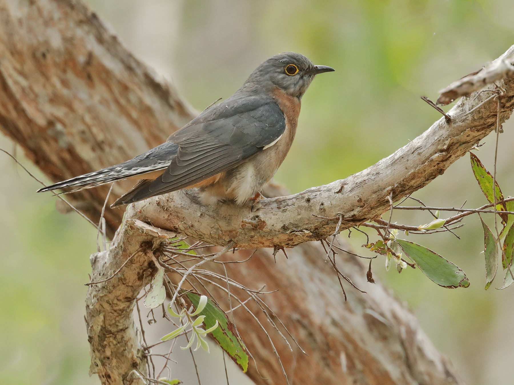 Fan-tailed Cuckoo (Image ID 42017)