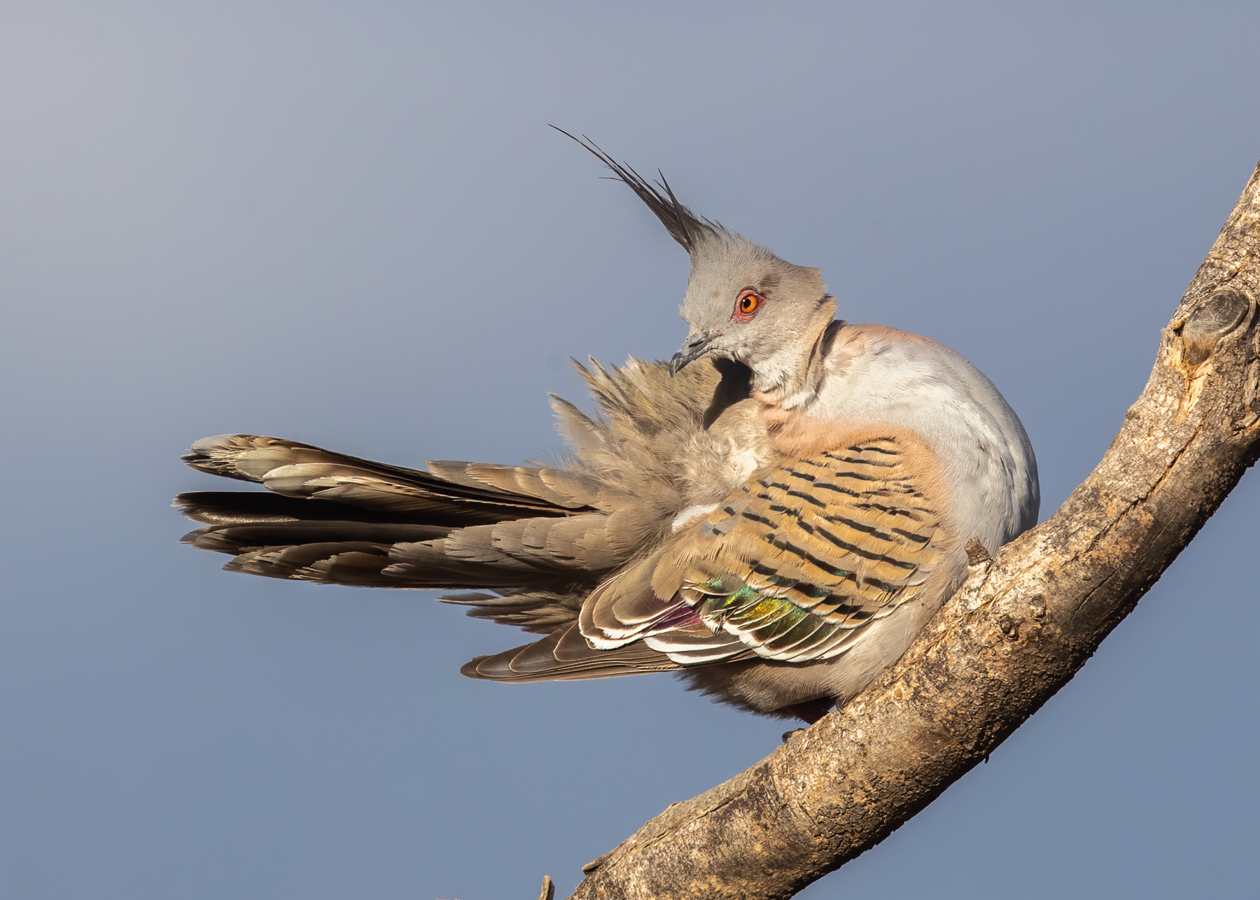 Crested Pigeon (Image ID 41882)