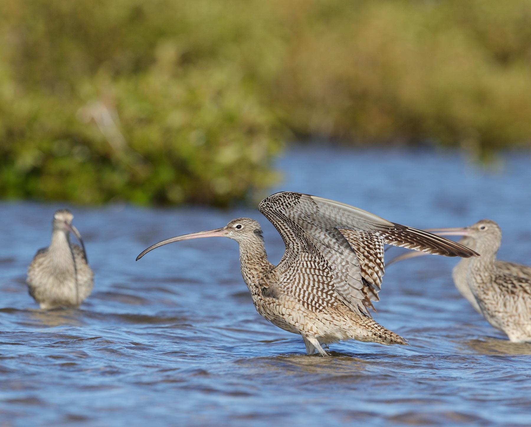 Far Eastern Curlew (Image ID 41878)