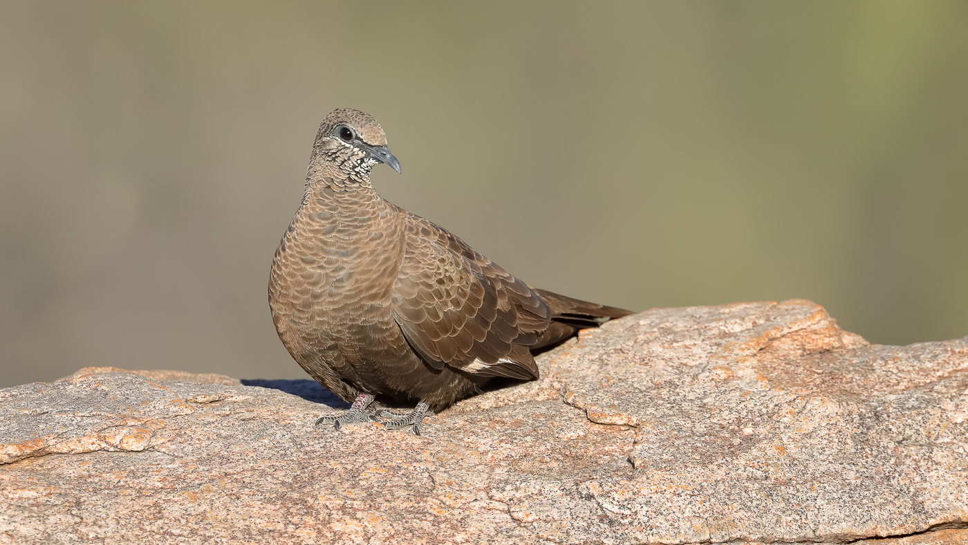 White-quilled Rock-Pigeon (Image ID 41971)