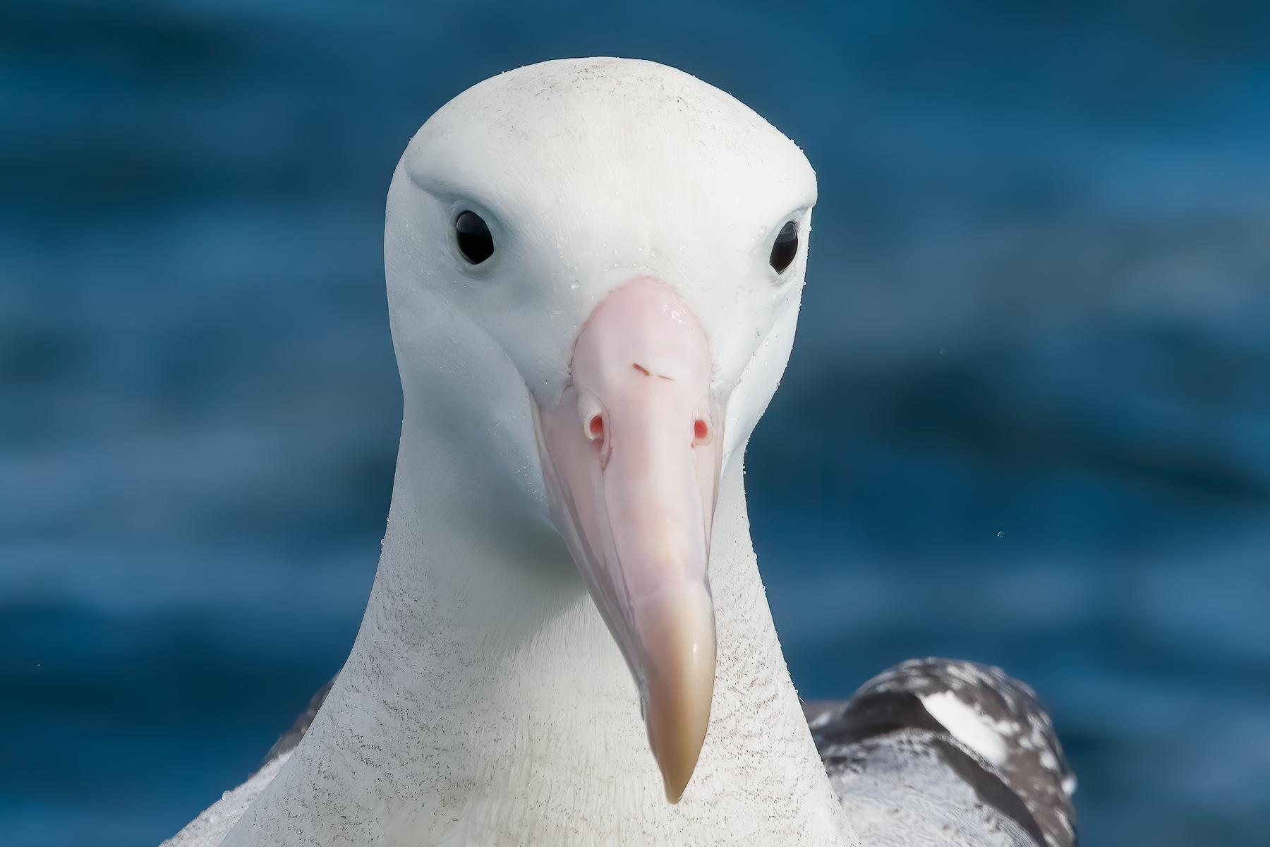 Southern Royal Albatross (Image ID 41820)