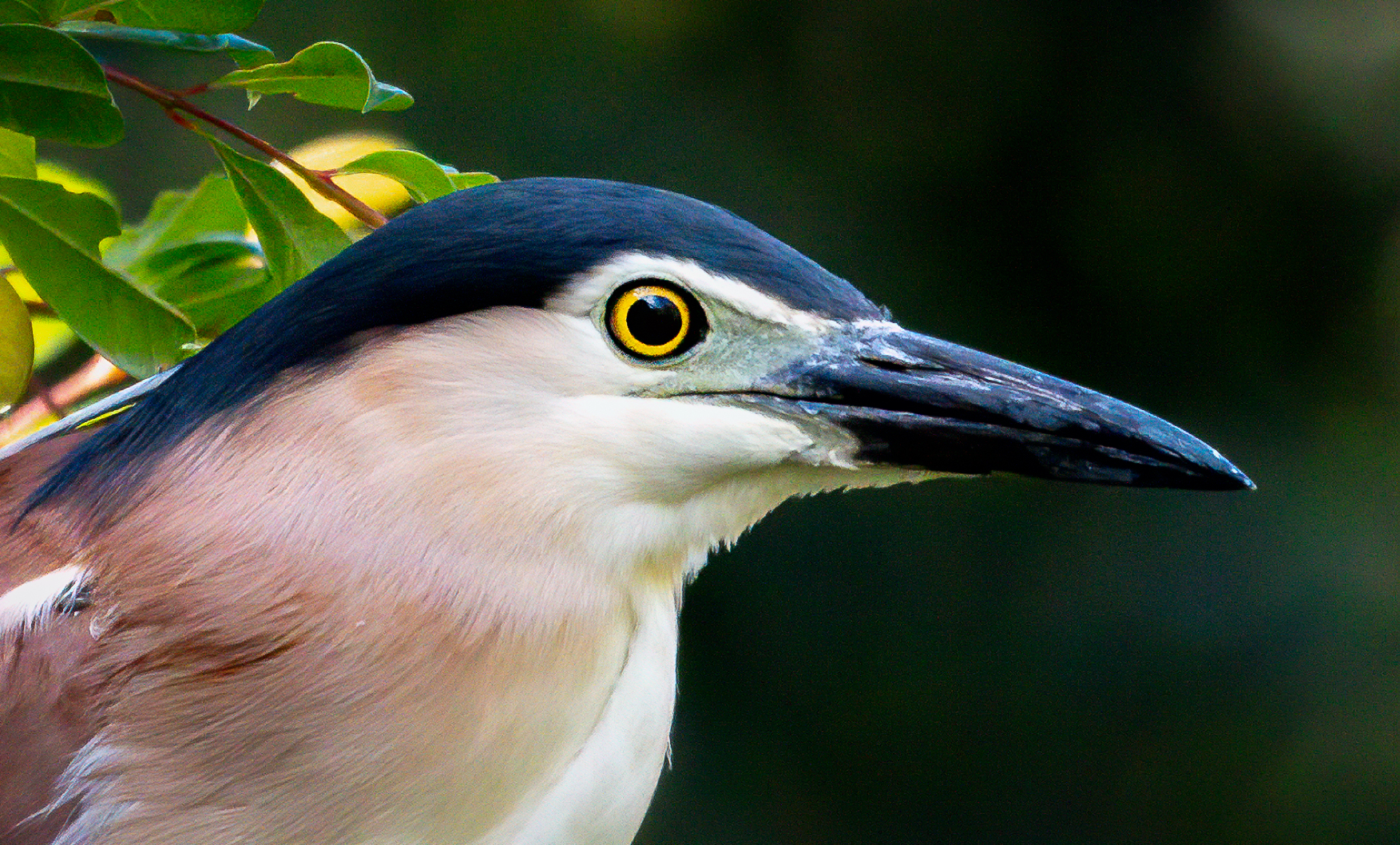 Nankeen Night-Heron (Image ID 41605)