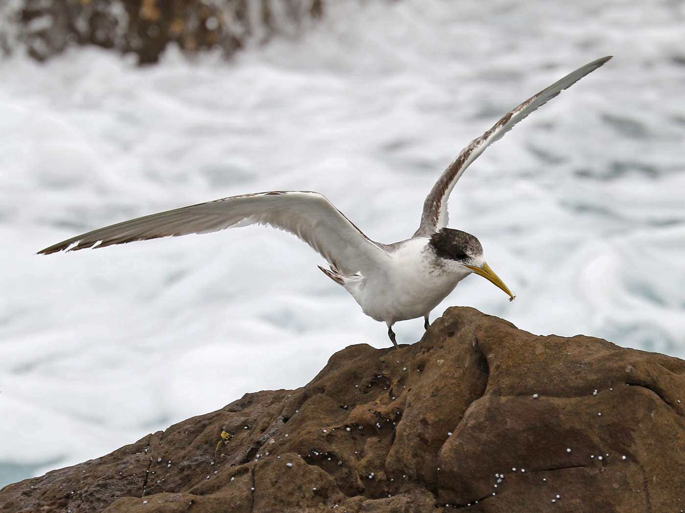 Greater Crested Tern (Image ID 41991)