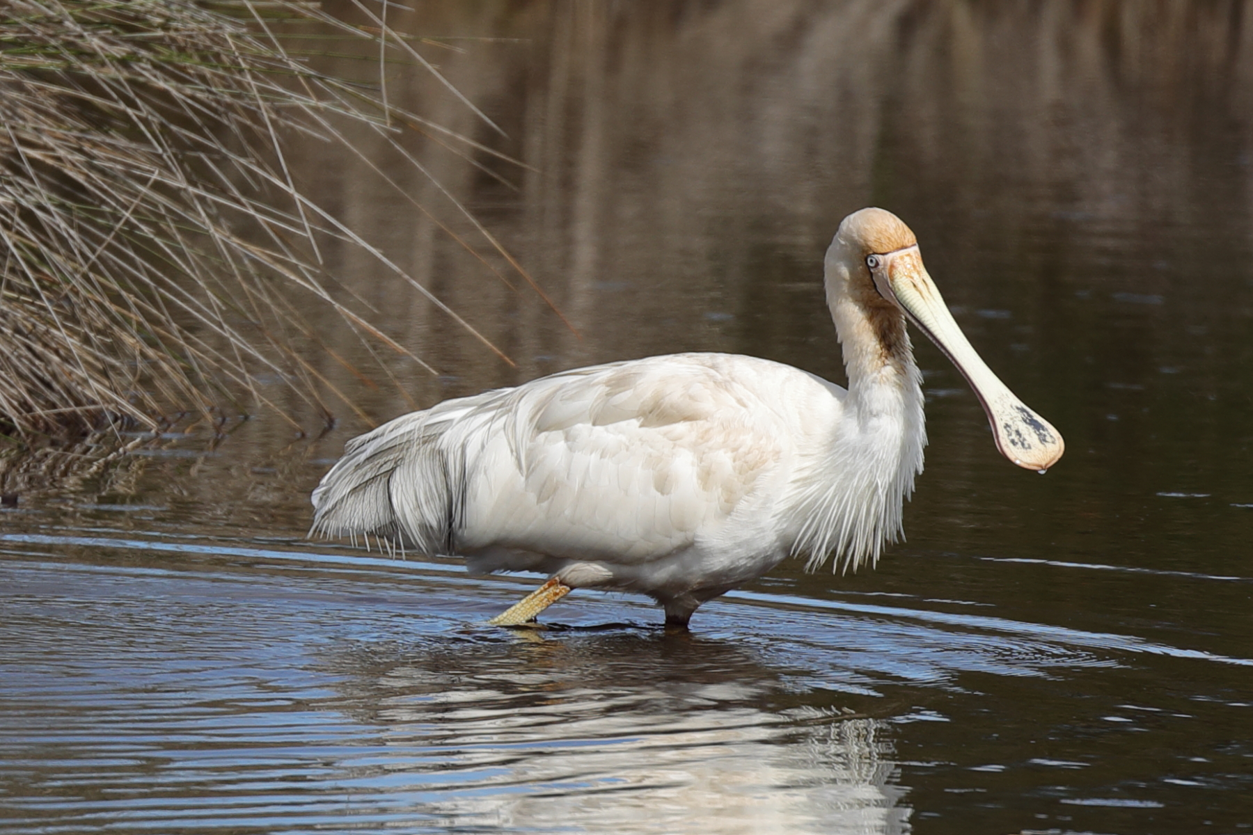 Yellow-billed Spoonbill (Image ID 41700)