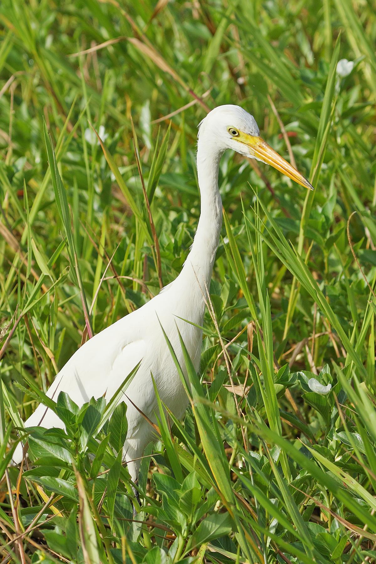 Plumed Egret (Image ID 41904)