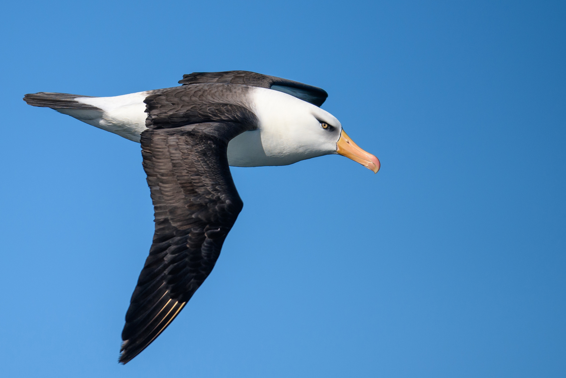 Campbell Albatross (Image ID 41863)