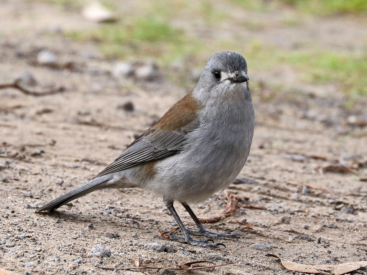Grey Shrike-thrush (Image ID 42008)