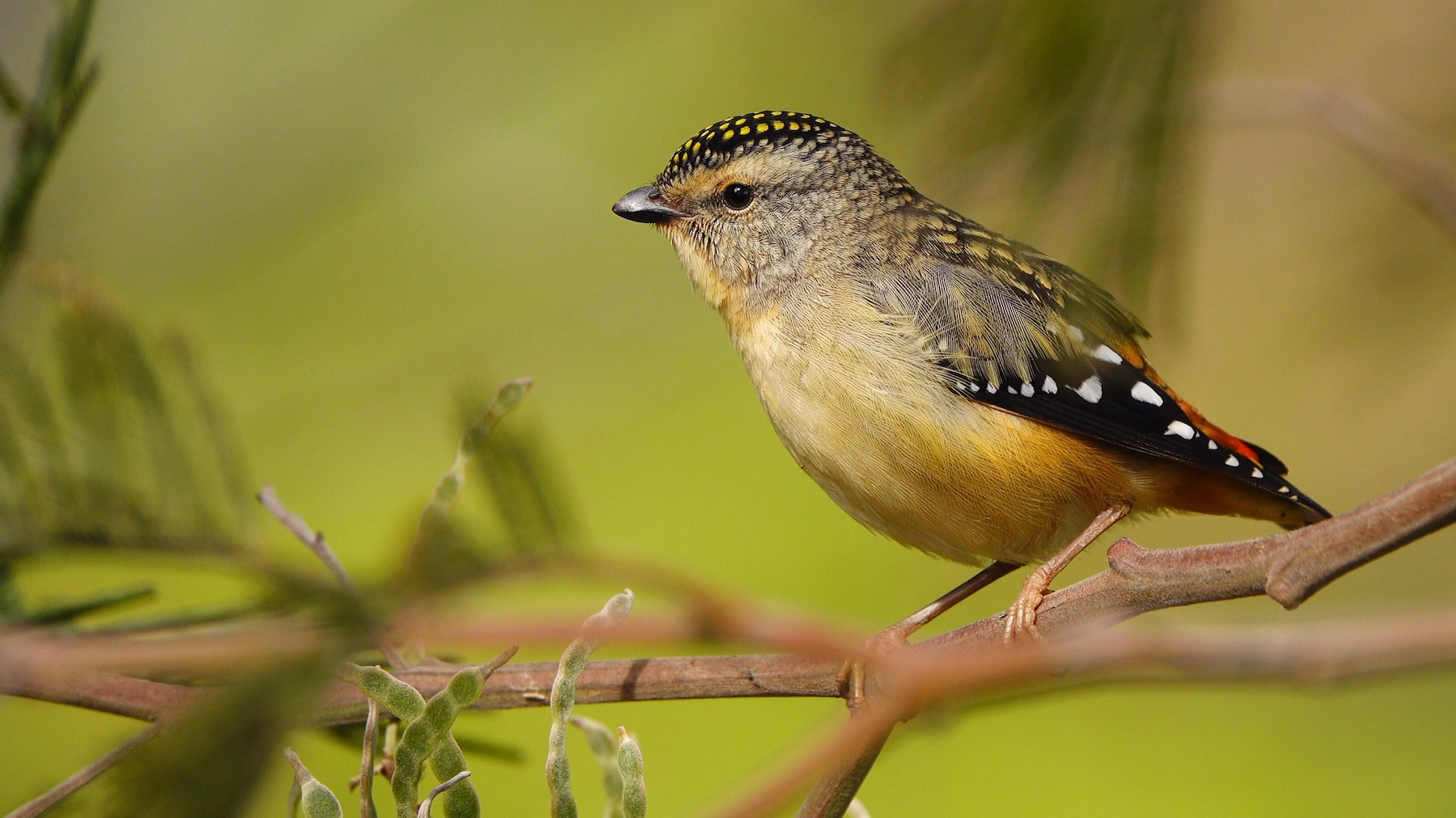 Spotted Pardalote (Image ID 42145)