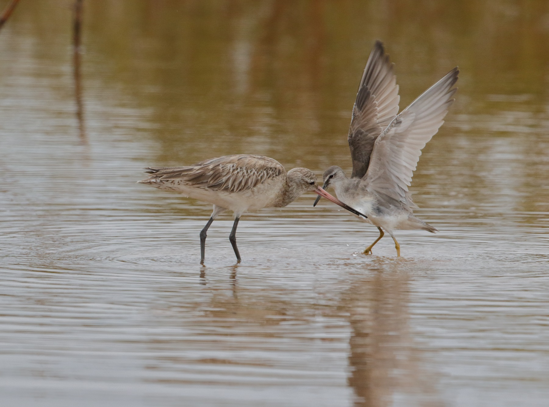 Bar-tailed Godwit, Grey-tailed Tattler (Image ID 42075)