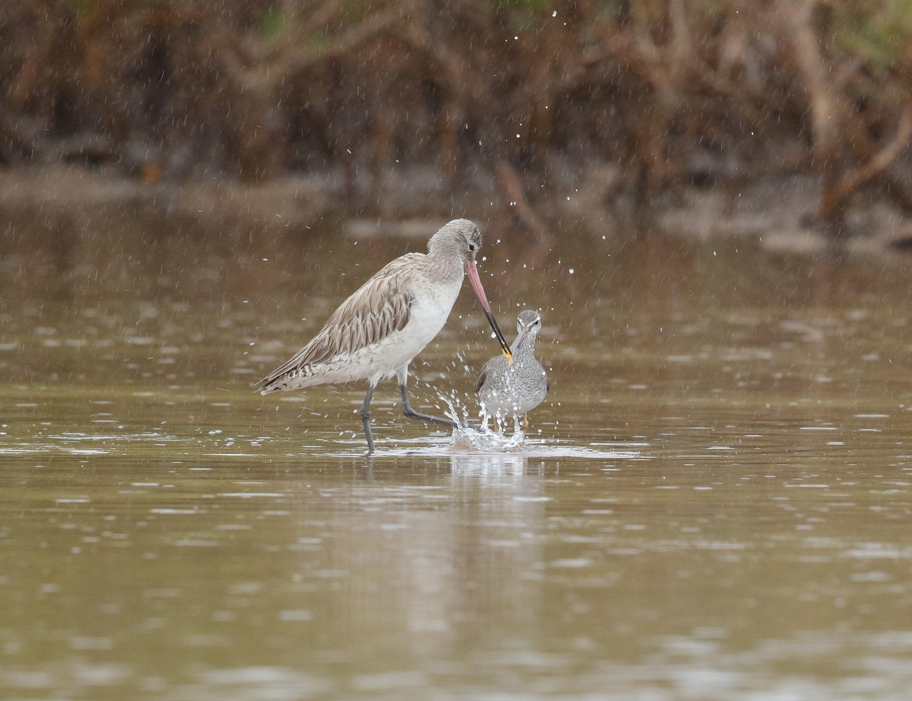 Bar-tailed Godwit, Grey-tailed Tattler (Image ID 42073)