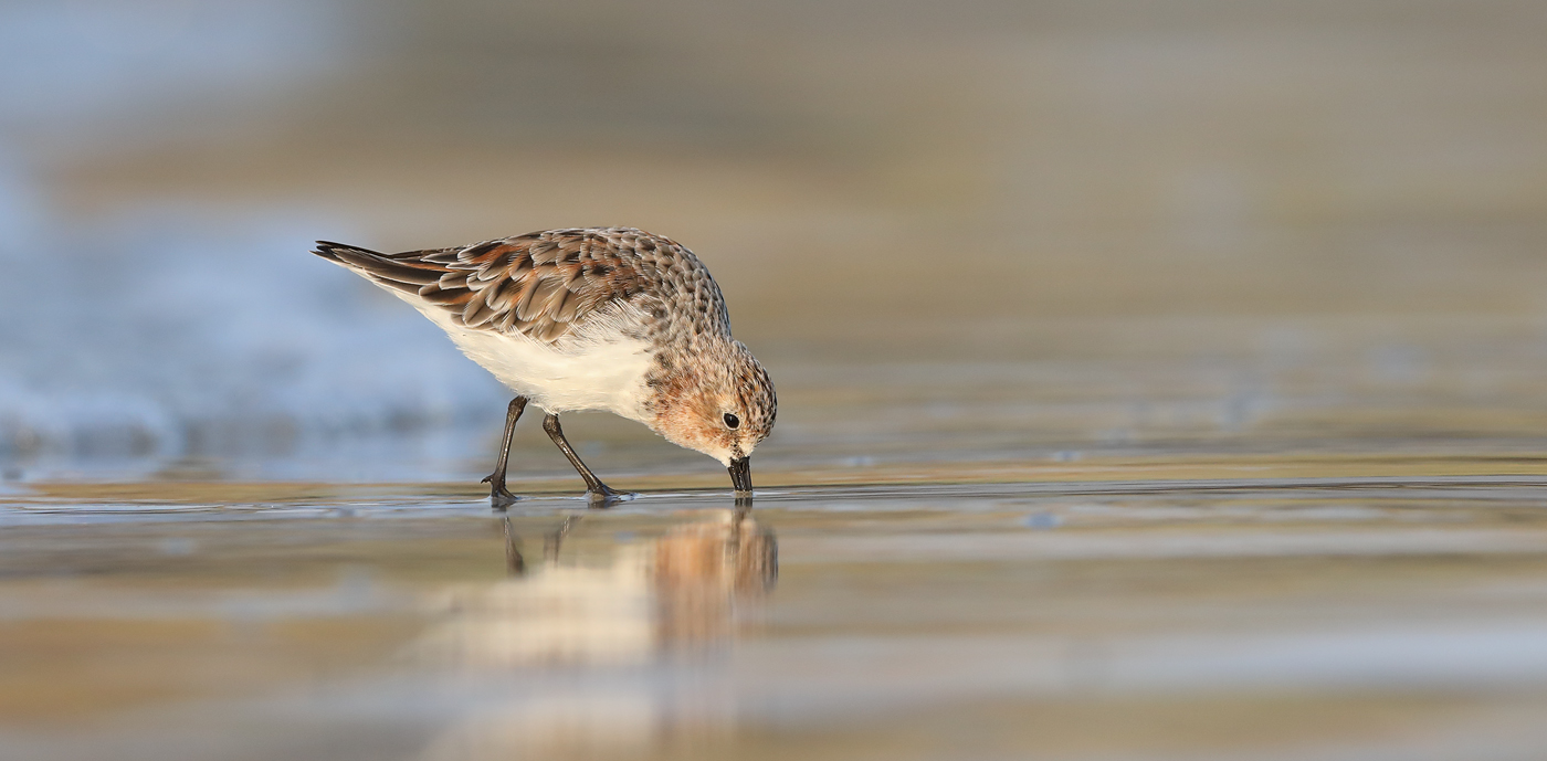 Red-necked Stint (Image ID 42090)