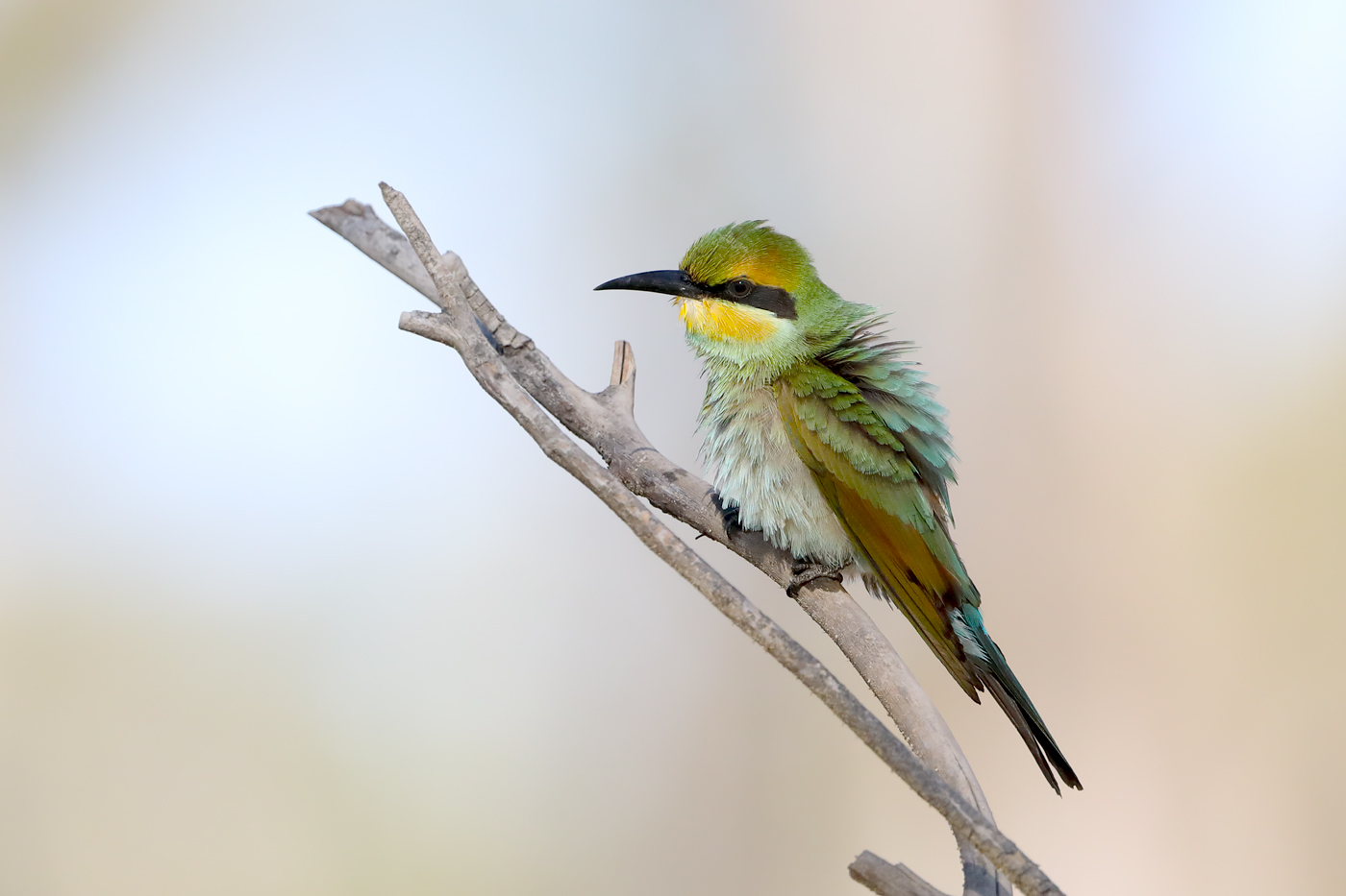 Rainbow Bee-eater (Image ID 42091)