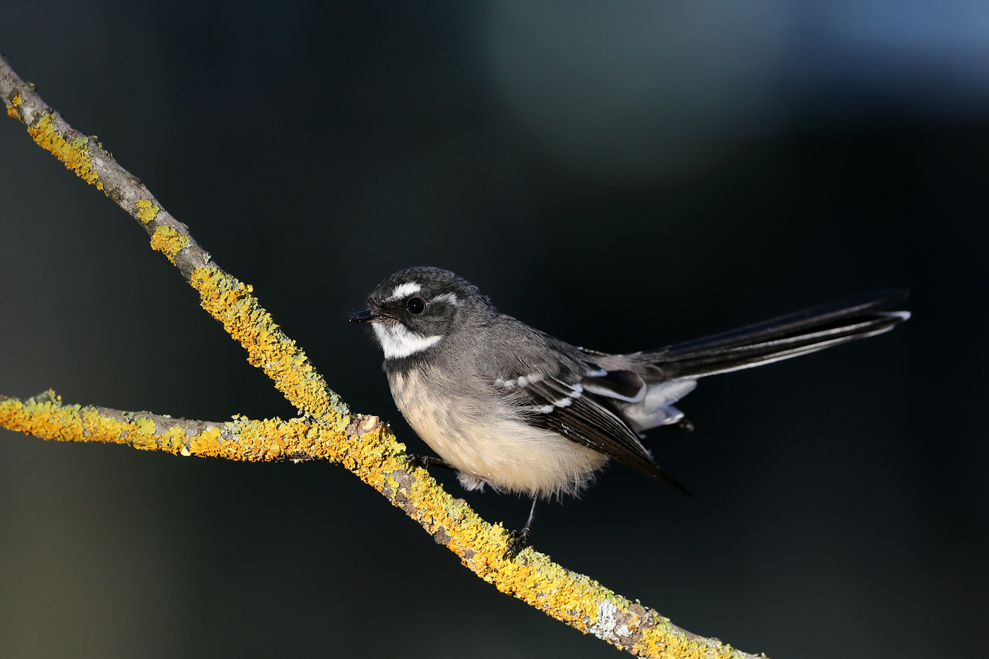 Grey Fantail (Image ID 42093)