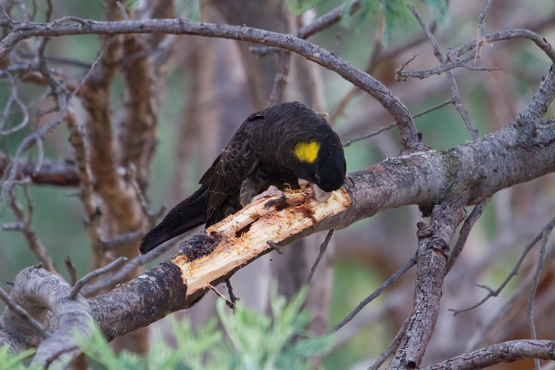 Yellow-tailed Black-Cockatoo (Image ID 42170)
