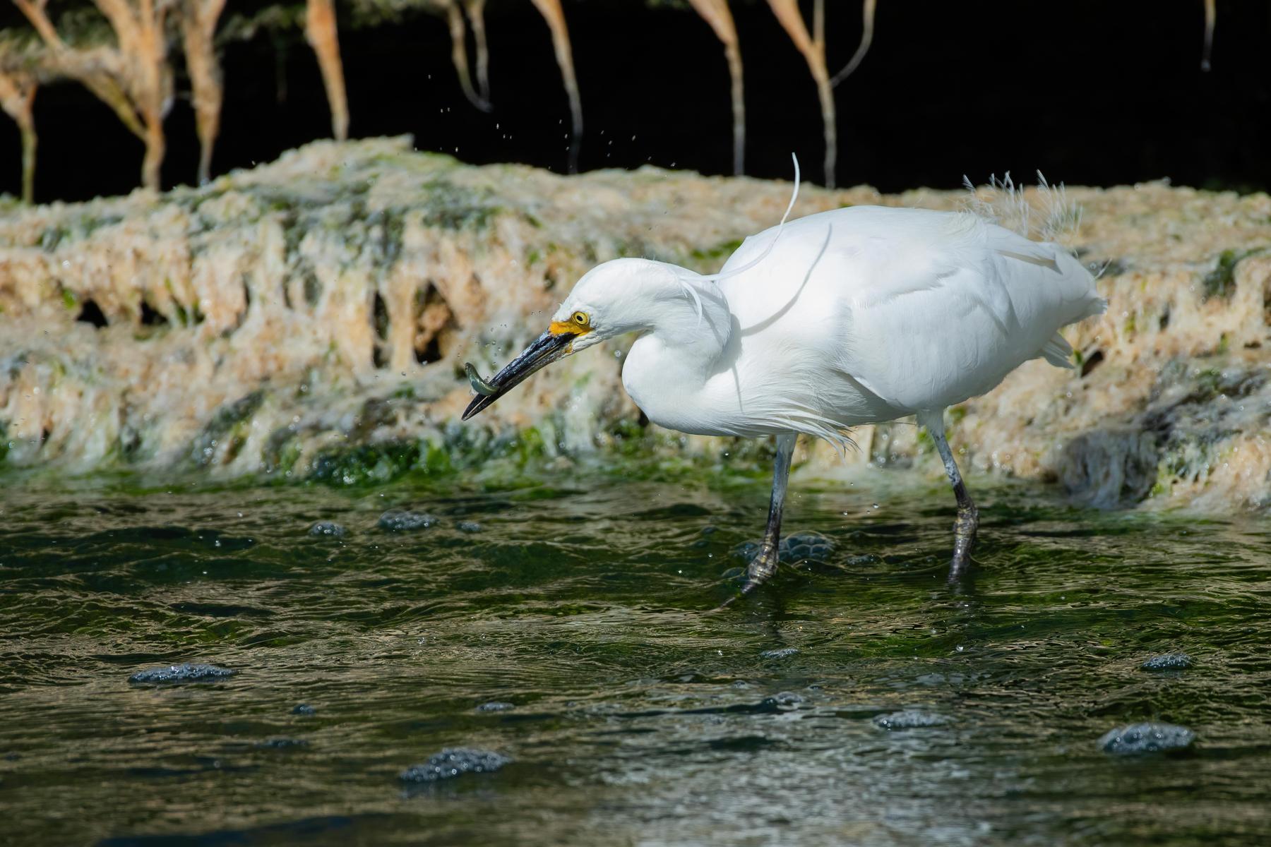 Little Egret (Image ID 42152)