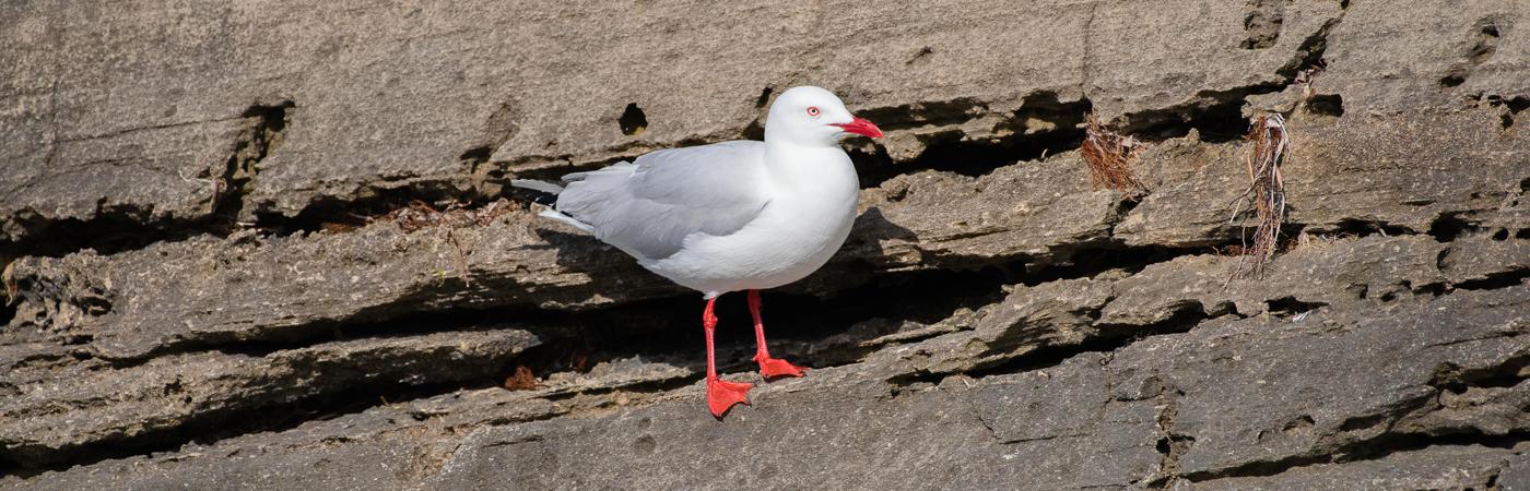 Silver Gull (Image ID 42151)