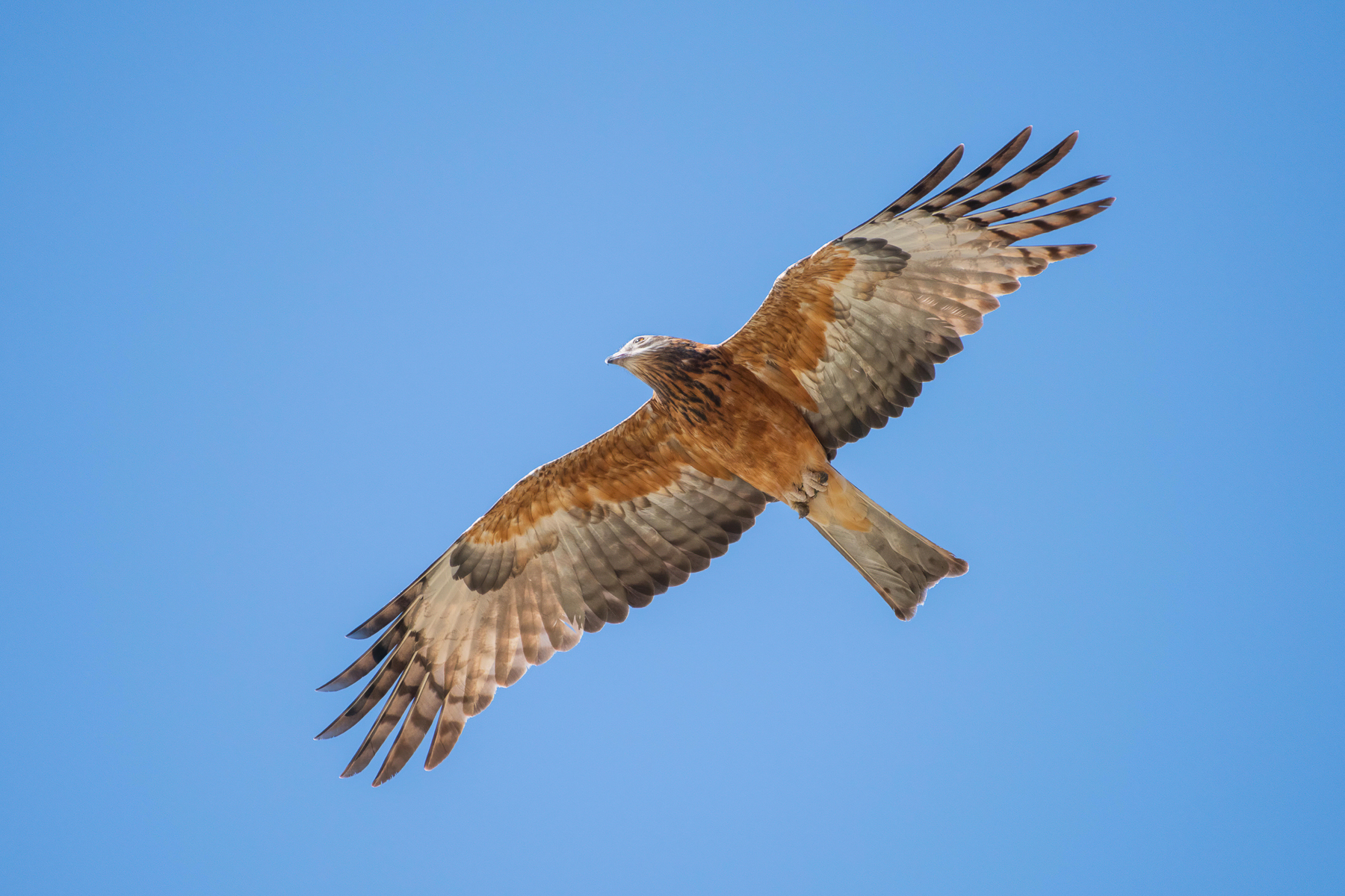 Square-tailed Kite (Image ID 42138)