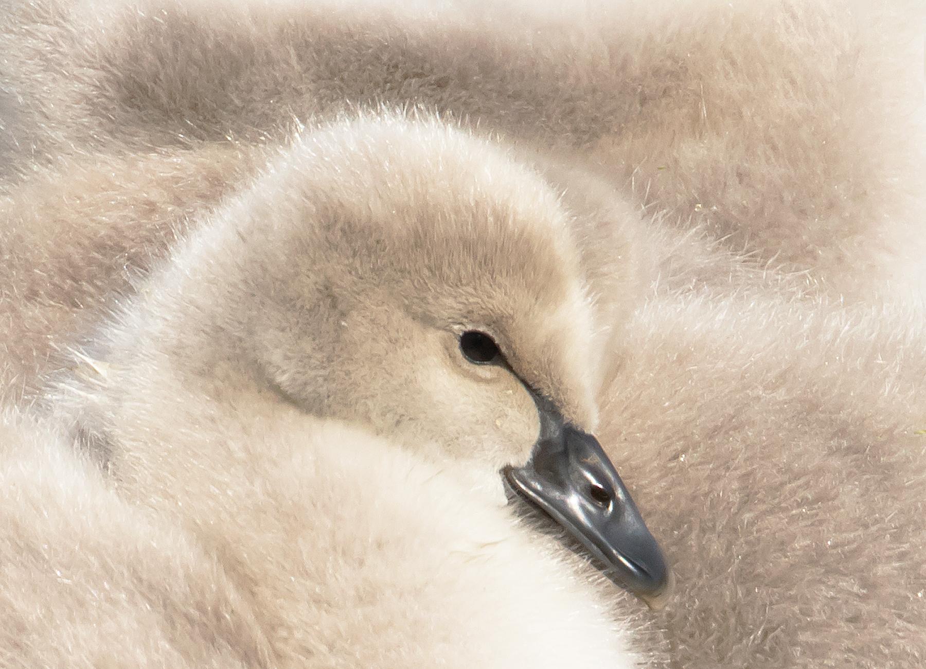 Black Swan (Image ID 42140)