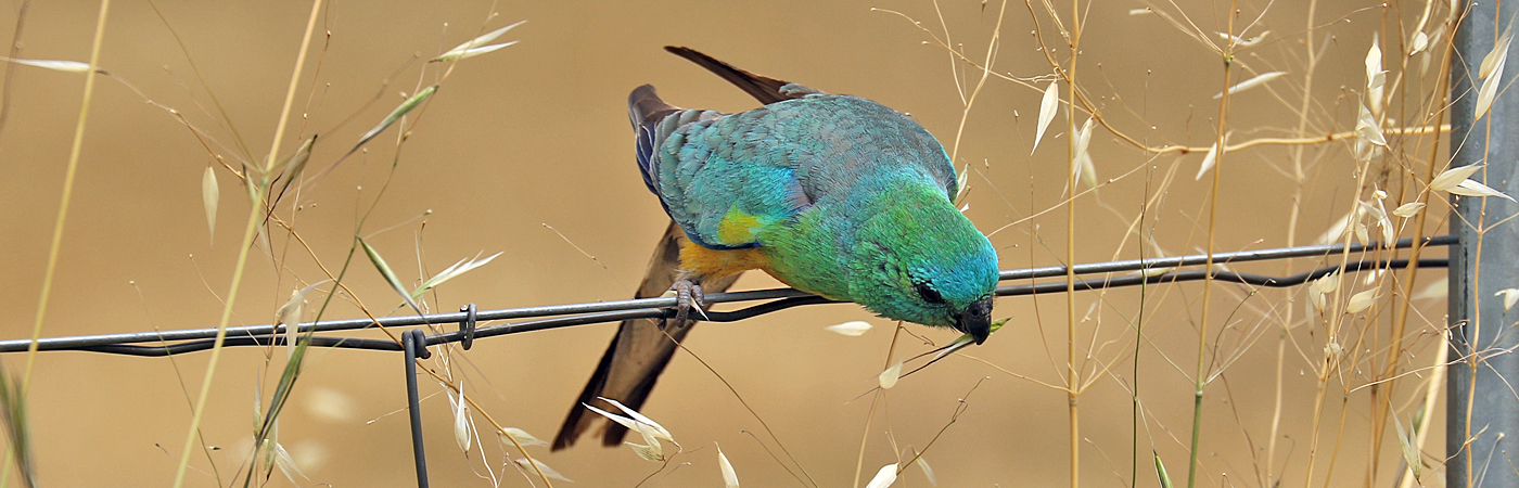 Red-rumped Parrot (Image ID 42084)
