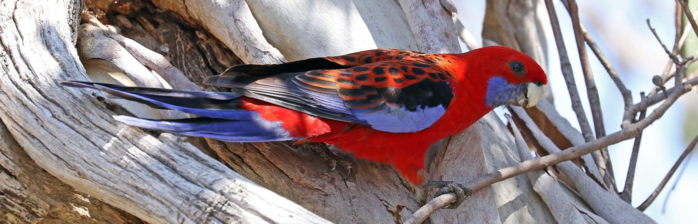 Crimson Rosella (Image ID 42066)