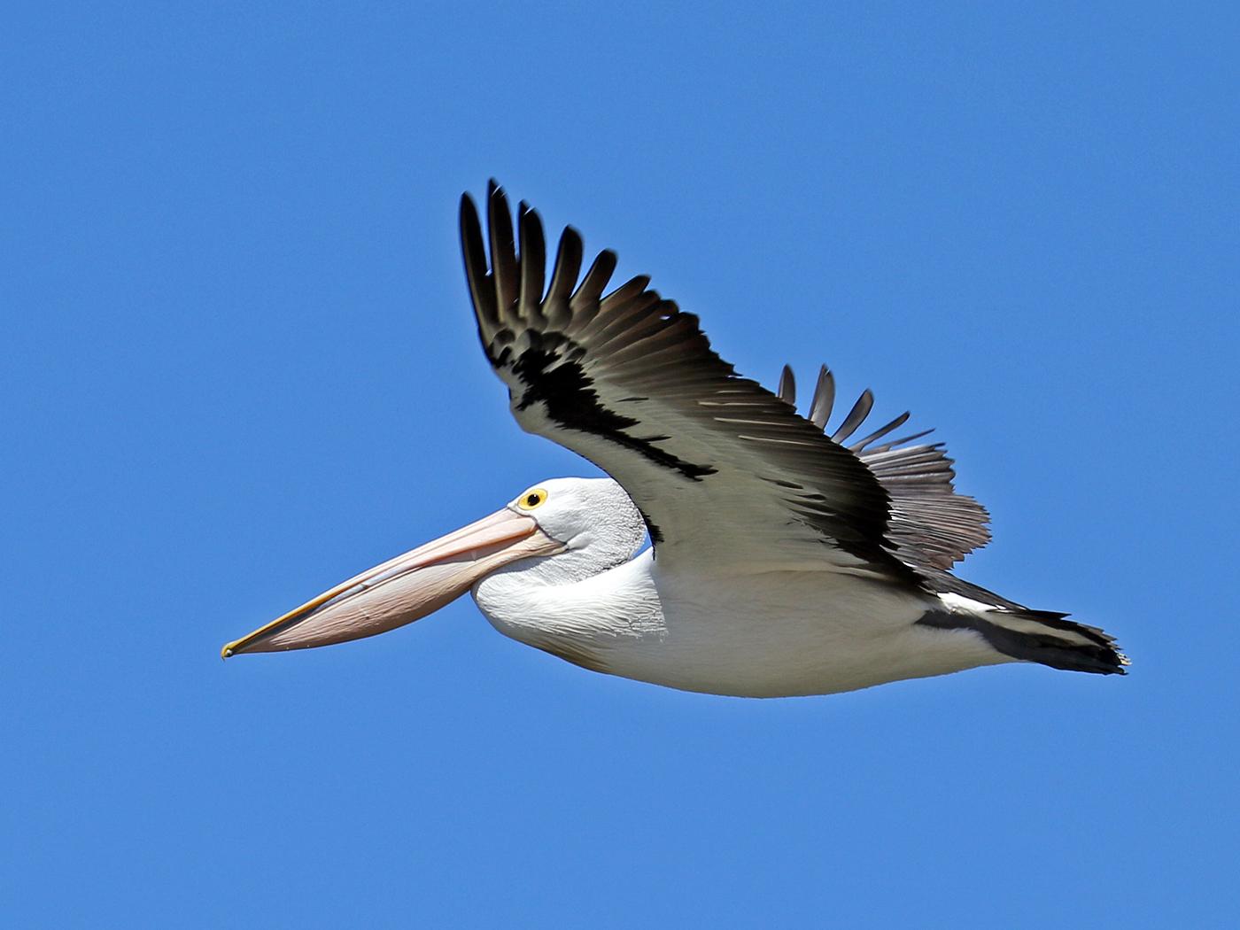 Australian Pelican (Image ID 42103)