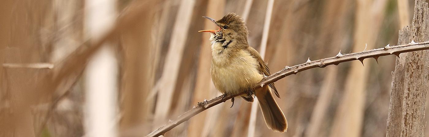 Australian Reed-Warbler (Image ID 42100)