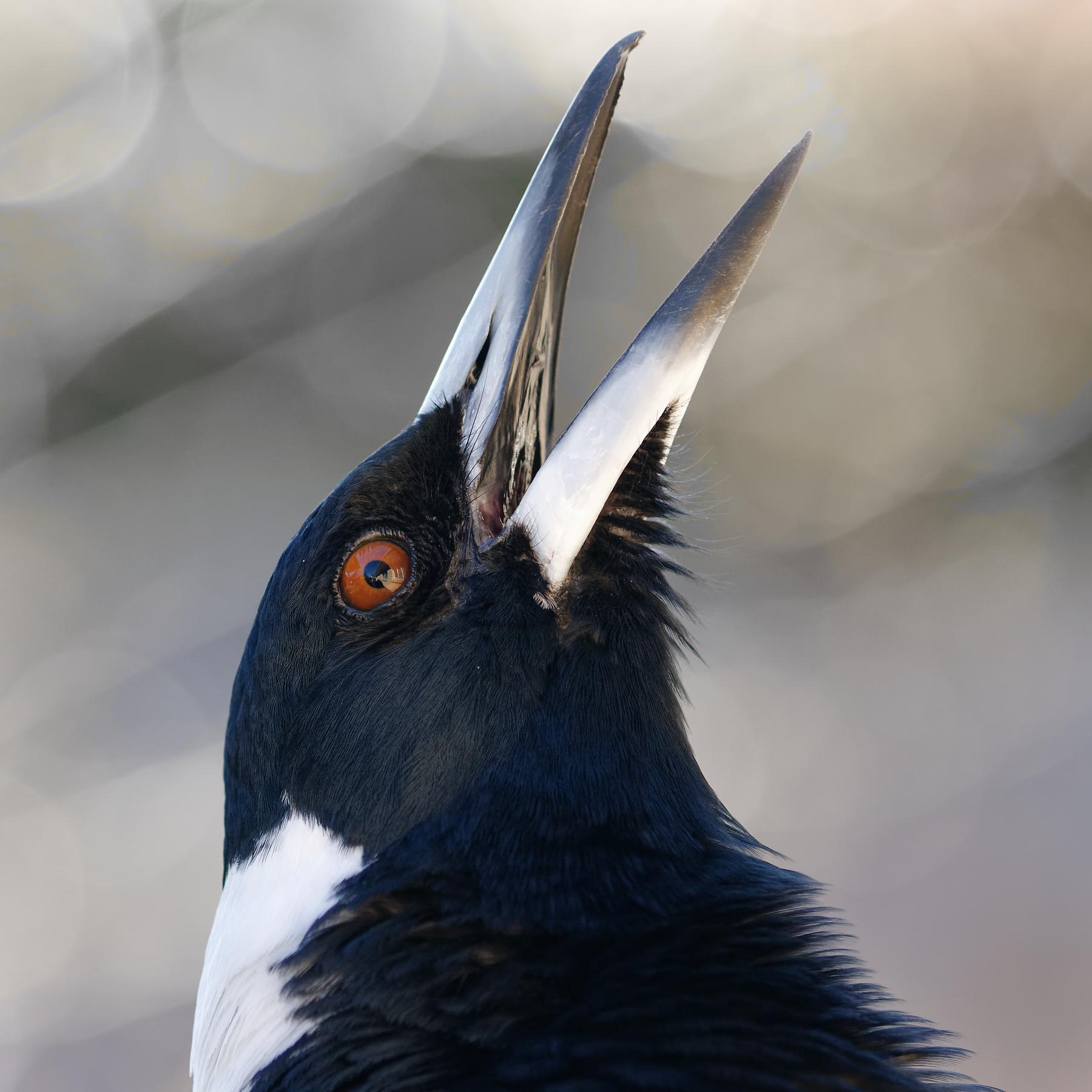 Australian Magpie (Image ID 42167)