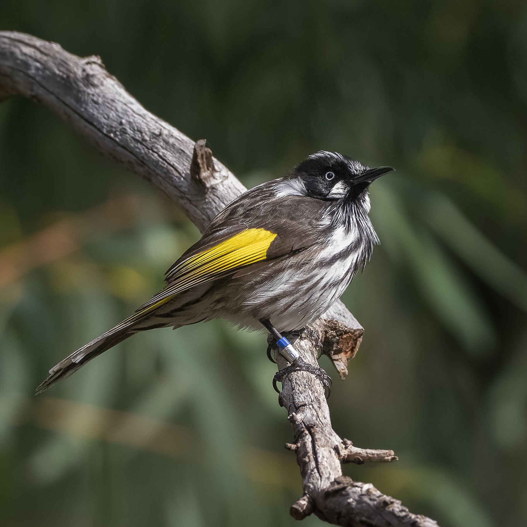 New Holland Honeyeater (Image ID 42130)