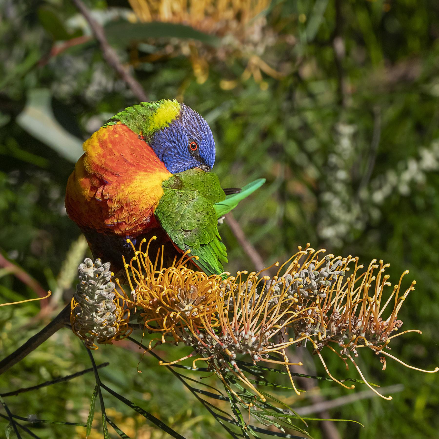 Rainbow Lorikeet (Image ID 42131)