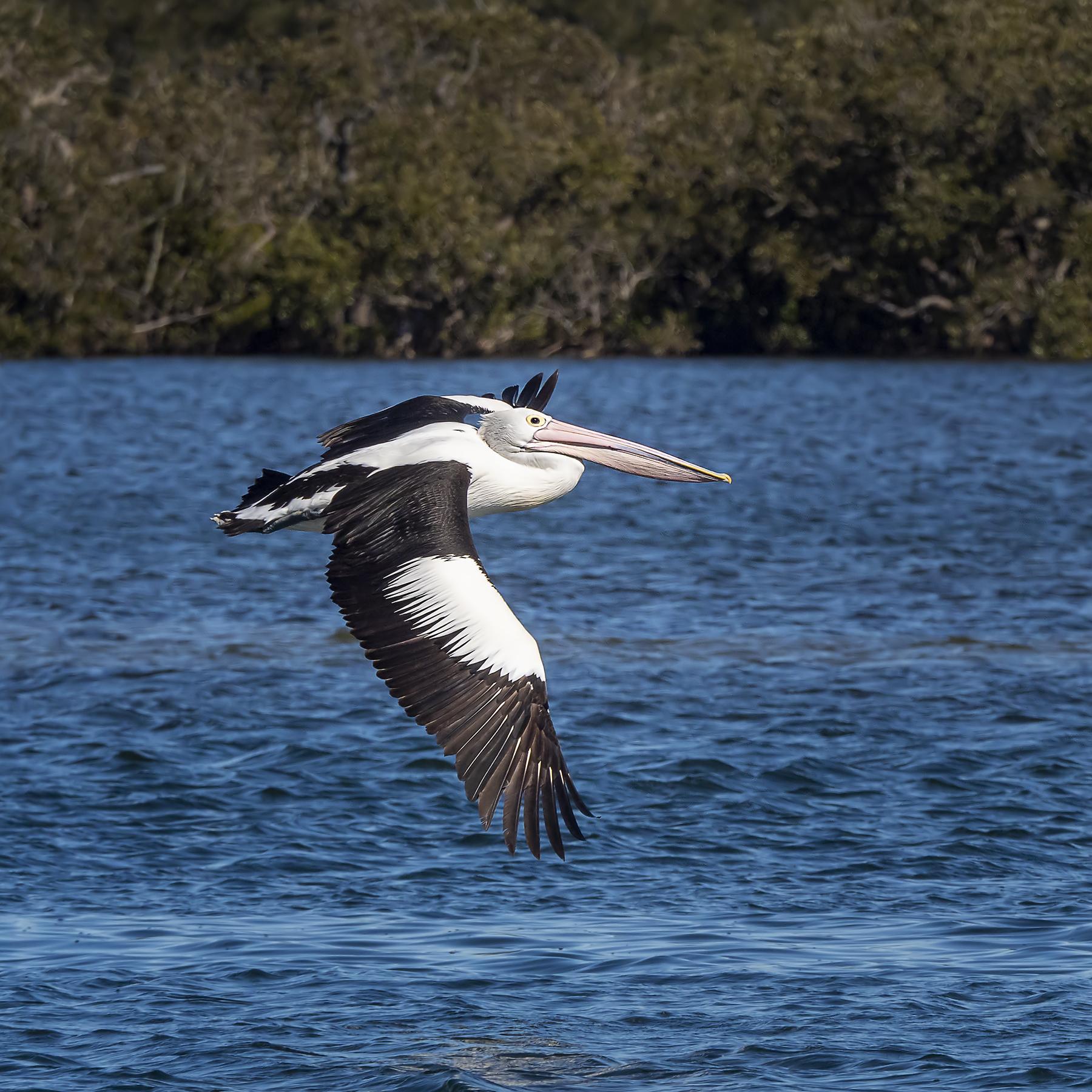 Australian Pelican (Image ID 42153)