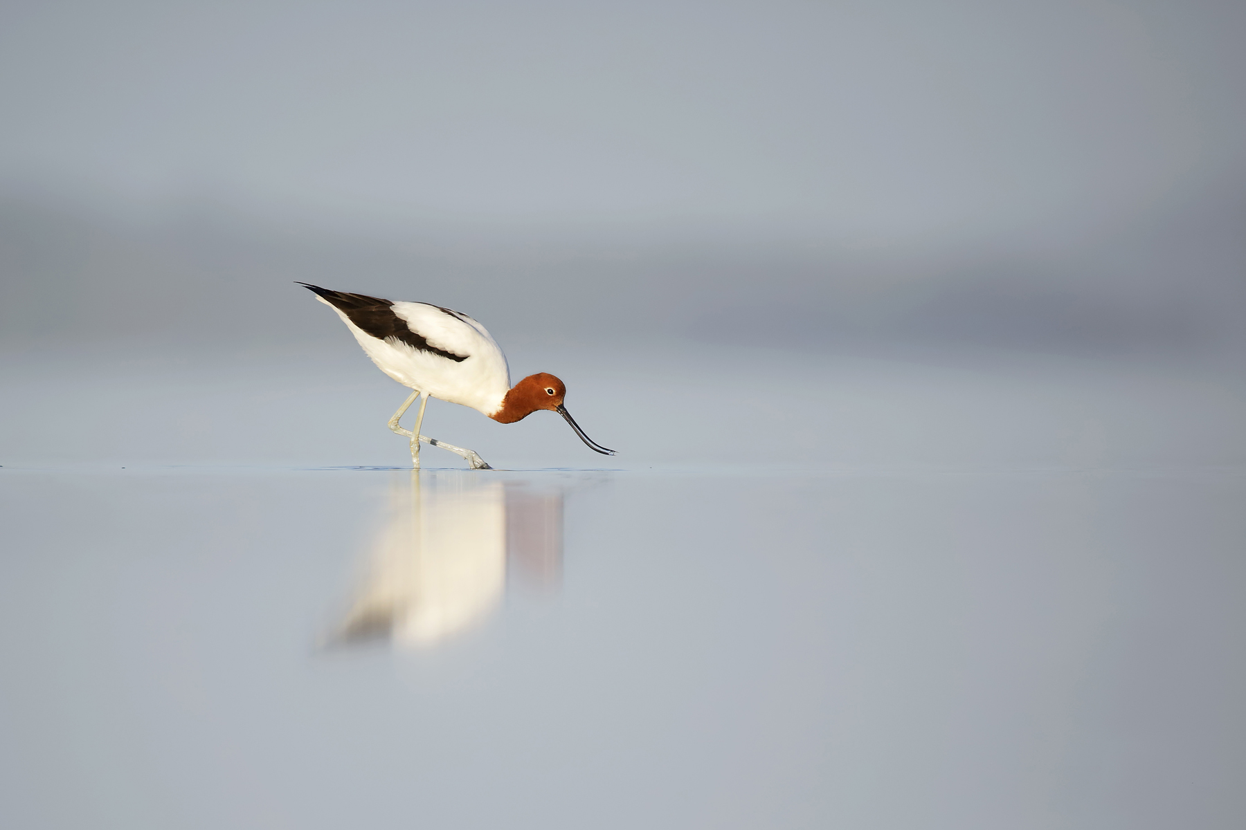 Red-necked Avocet (Image ID 42071)