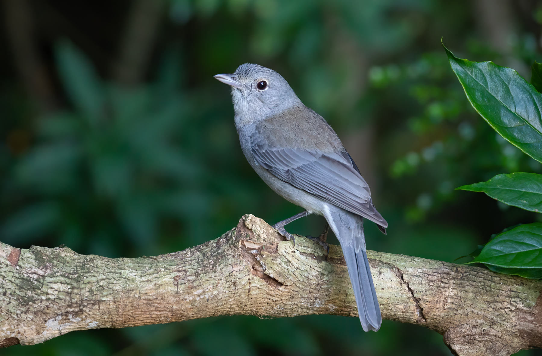 Grey Shrike-thrush (Image ID 42169)
