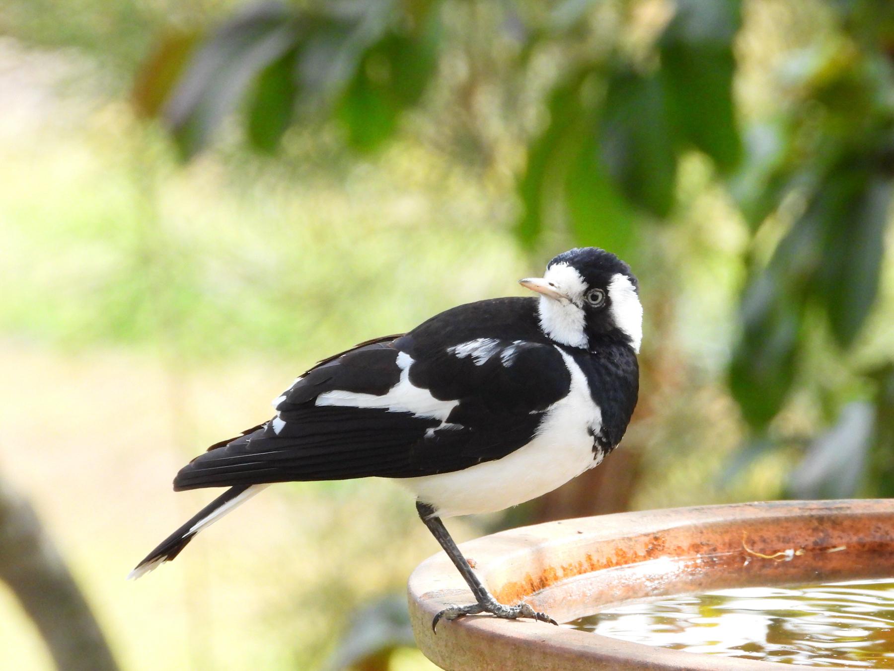 Magpie-lark (Image ID 42078)