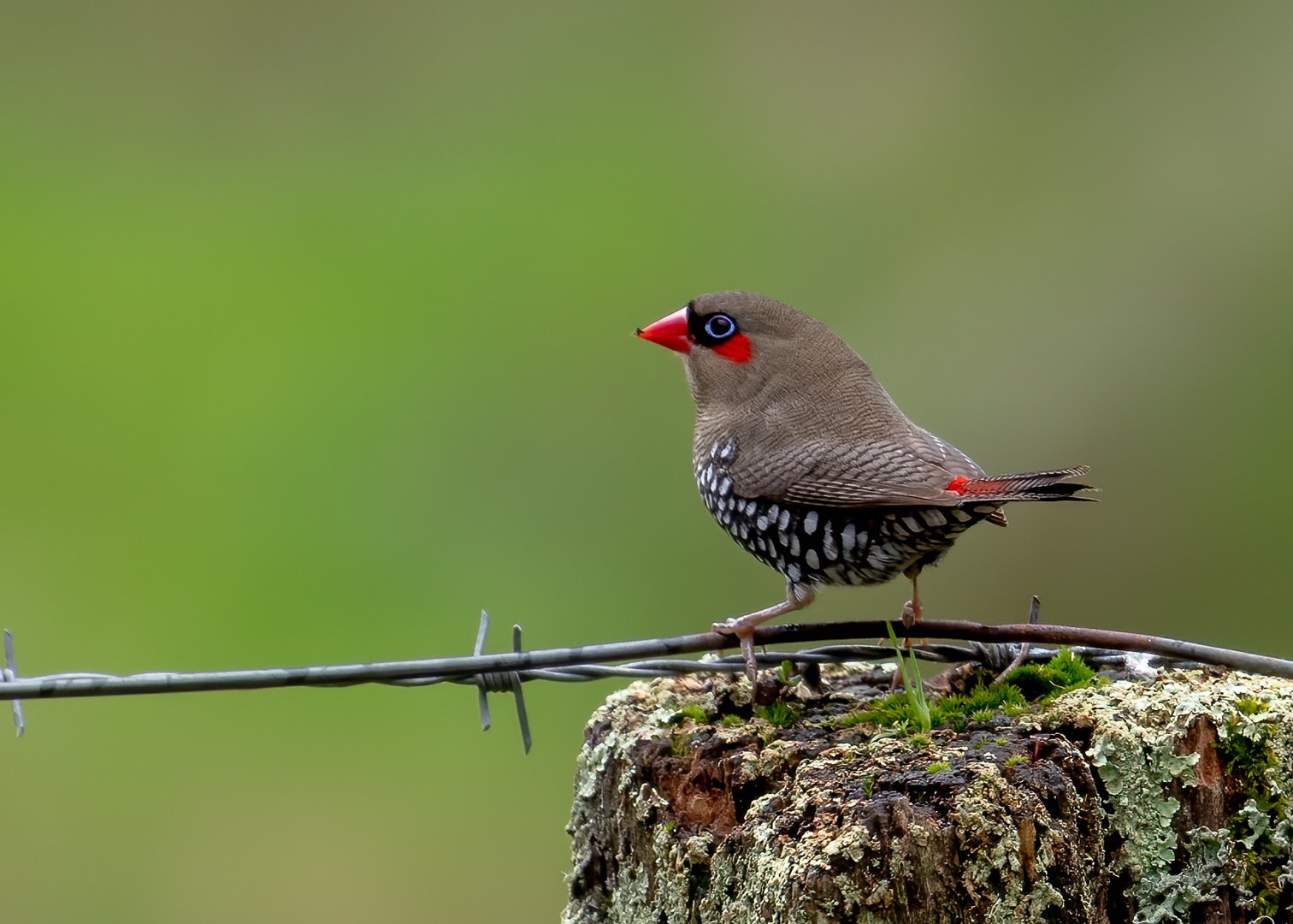 Red-eared Firetail (Image ID 42112)