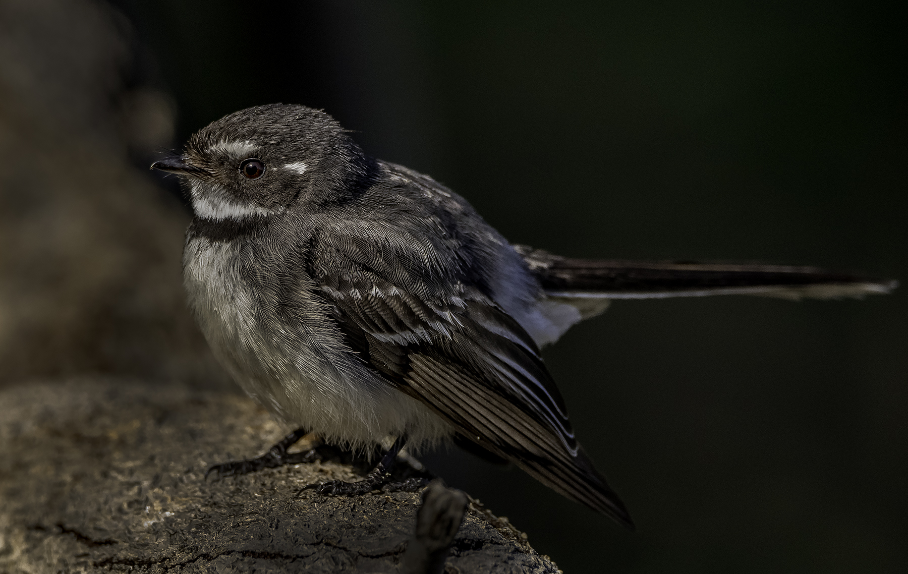 Grey Fantail (Image ID 42061)