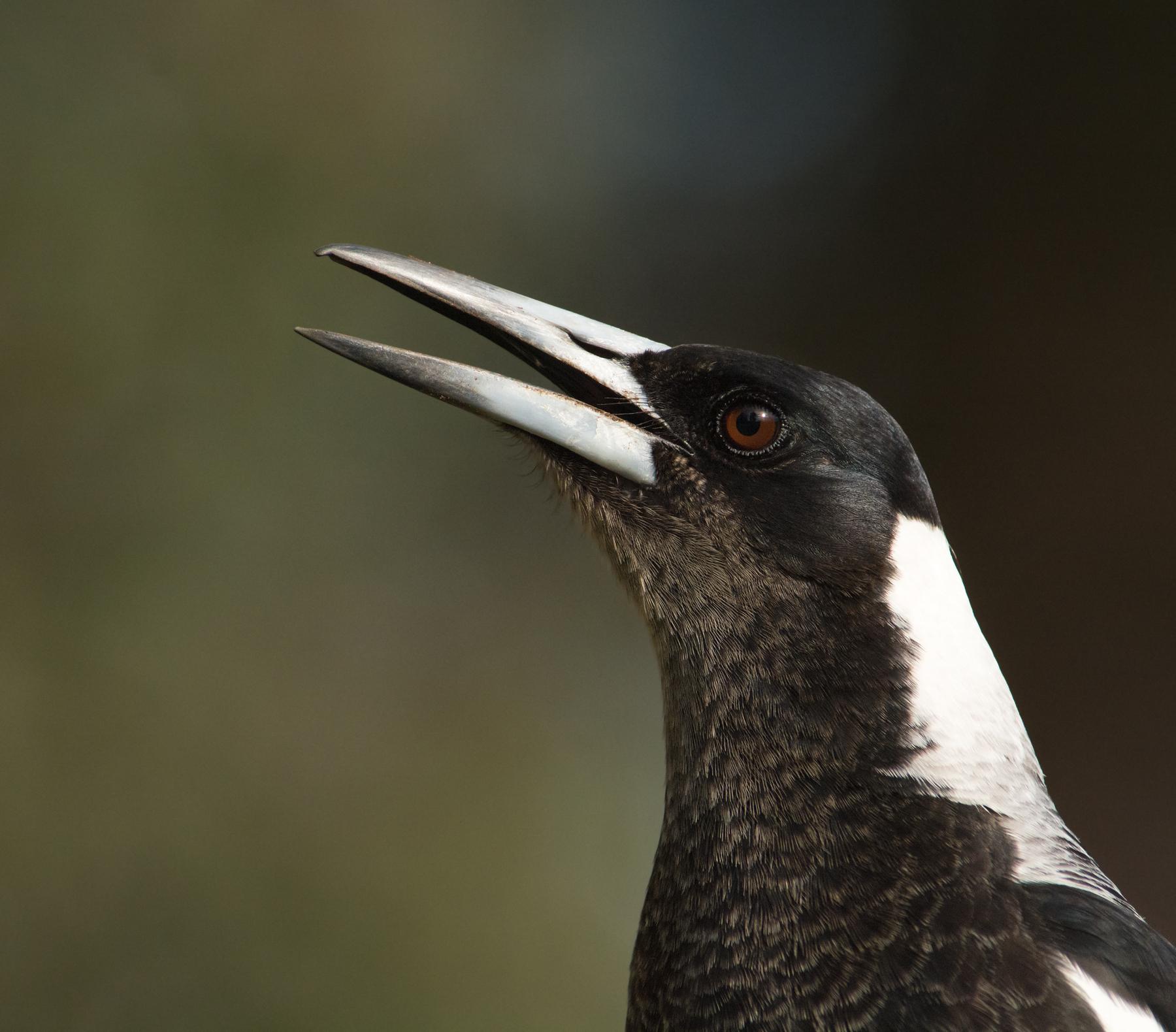 Australian Magpie (Image ID 41742)
