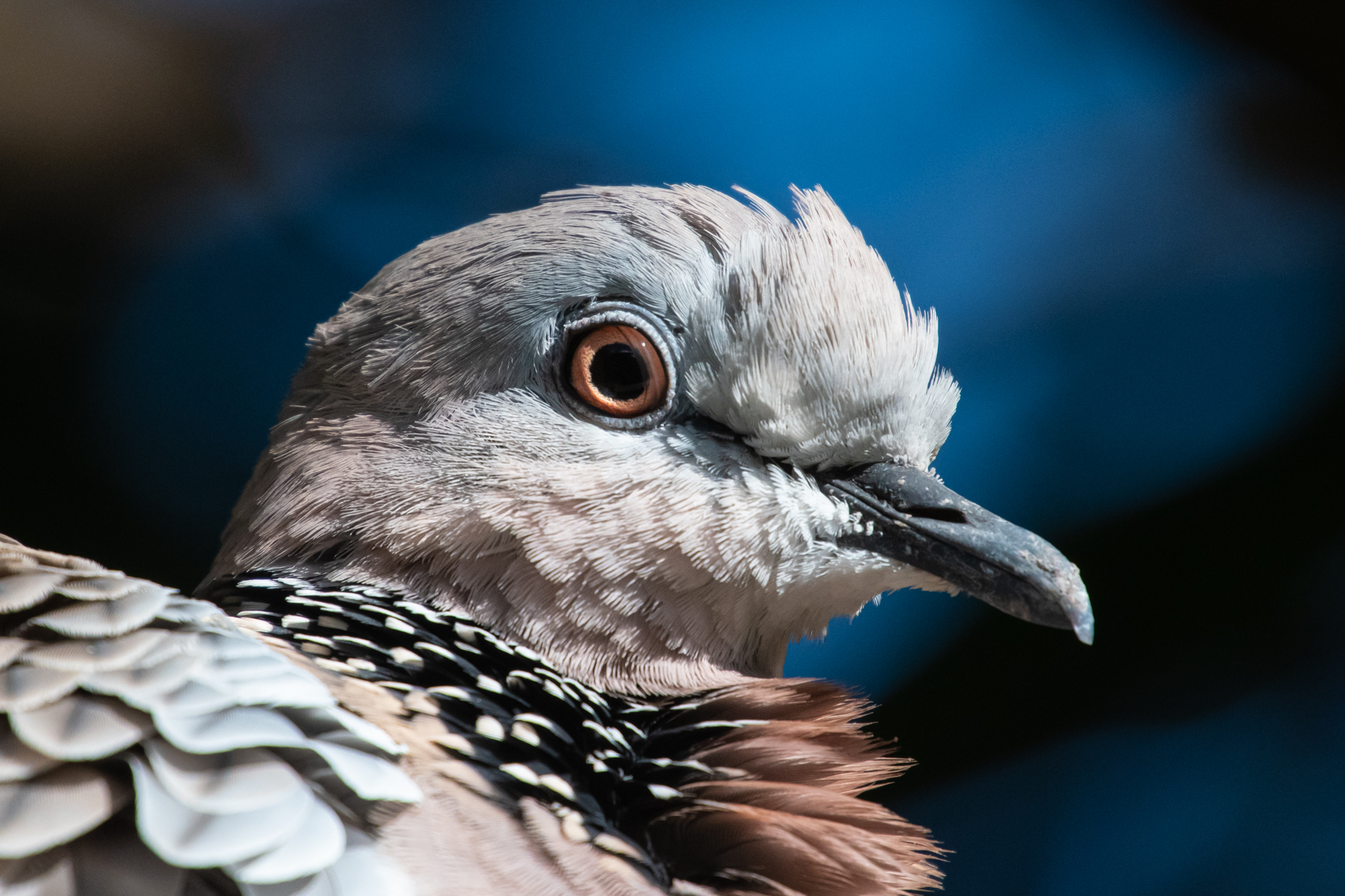 Spotted Dove (Image ID 41707)