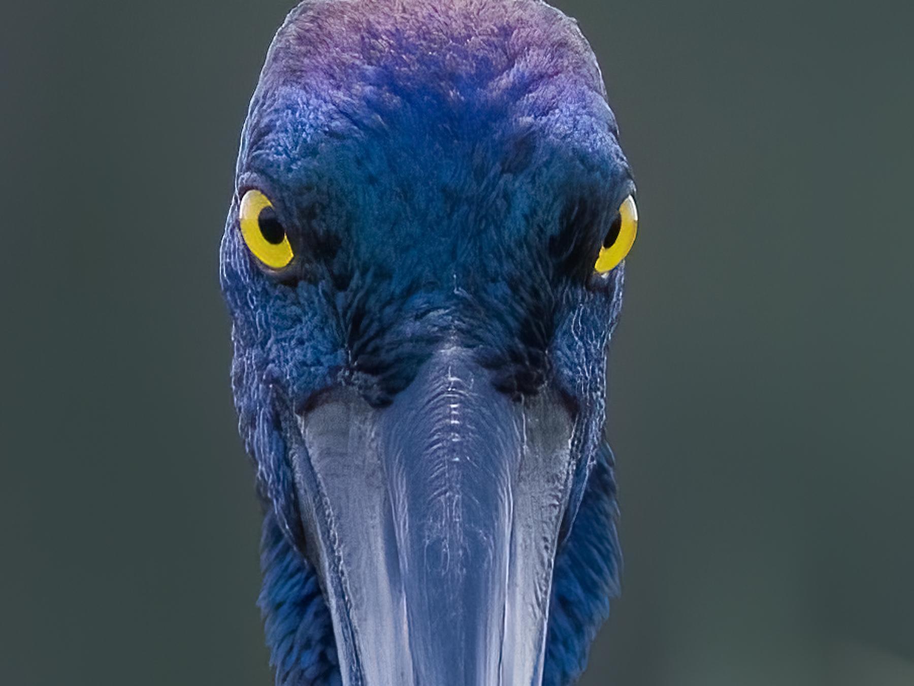 Black-necked Stork (Image ID 41798)