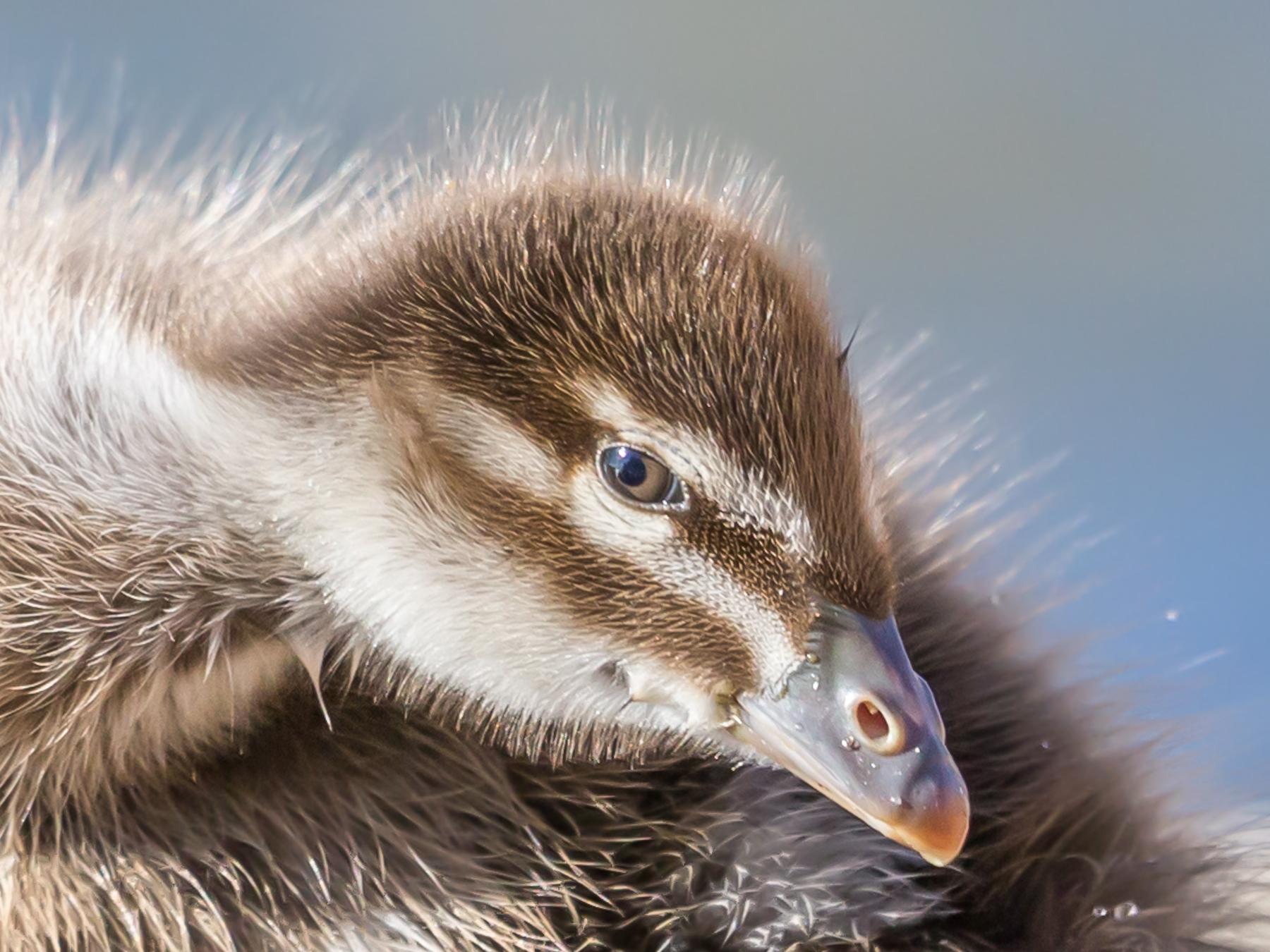 Australian Wood Duck (Image ID 41736)