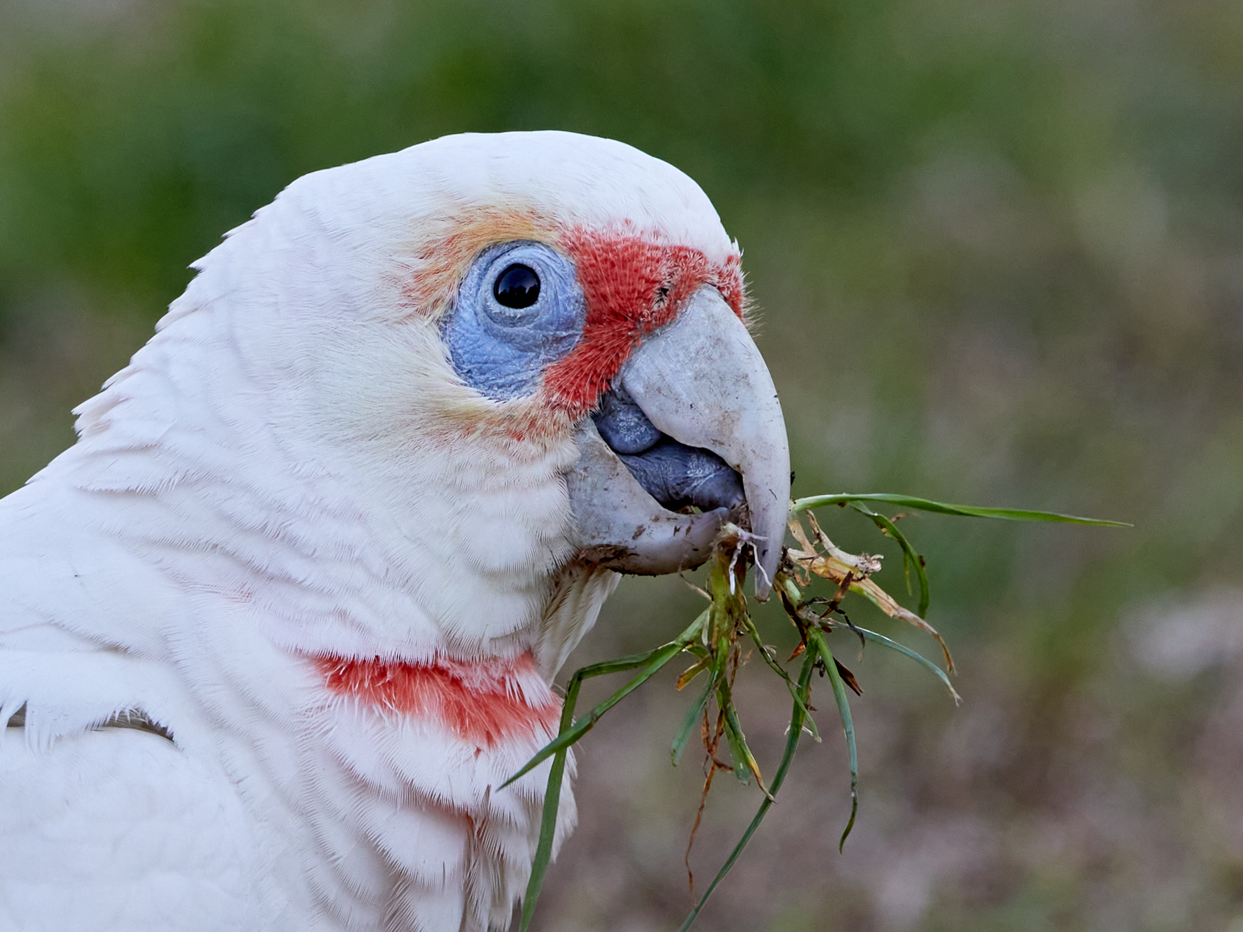 Long-billed Corella (Image ID 41696)