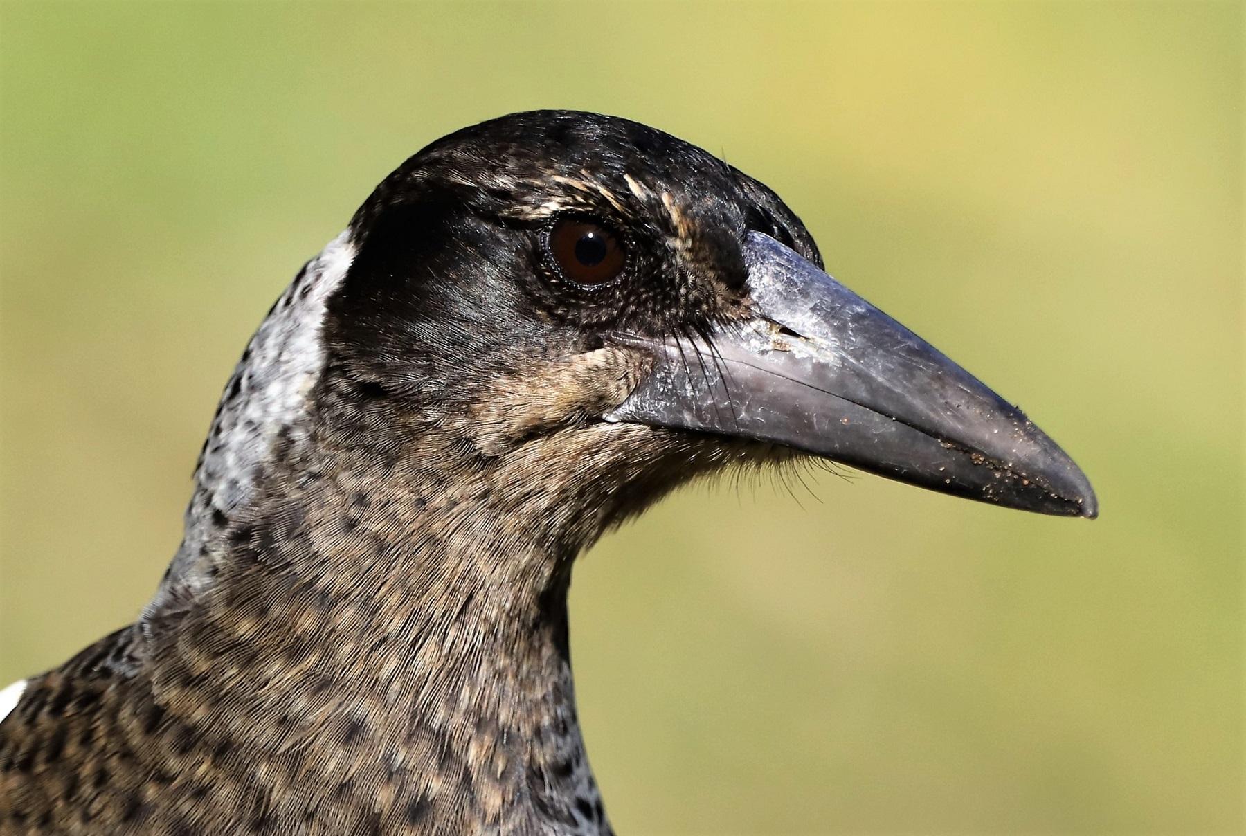 Australian Magpie (Image ID 41654)